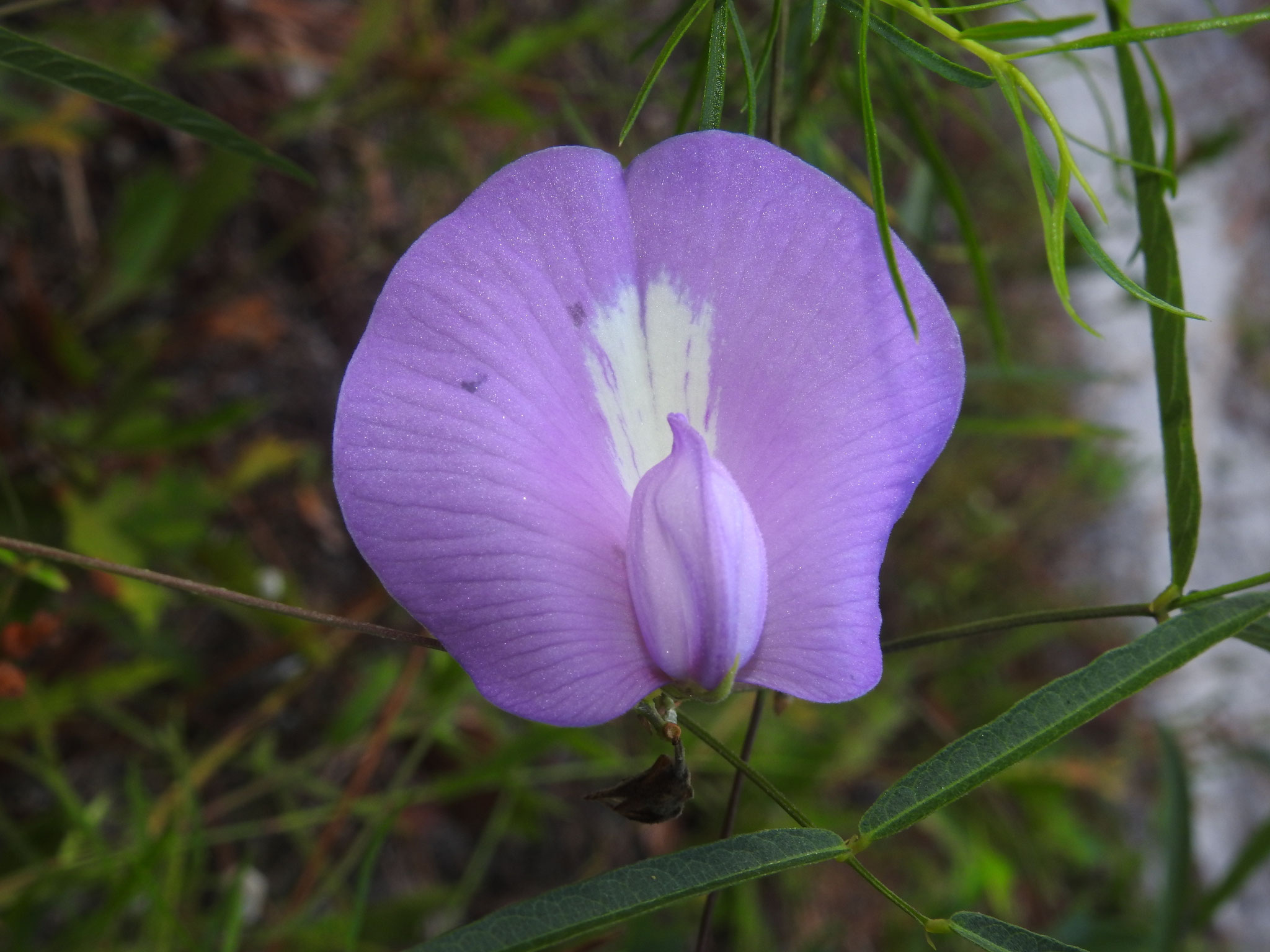 butterfly pea-  centrosema virgibiaum, Photo by Art Smith
