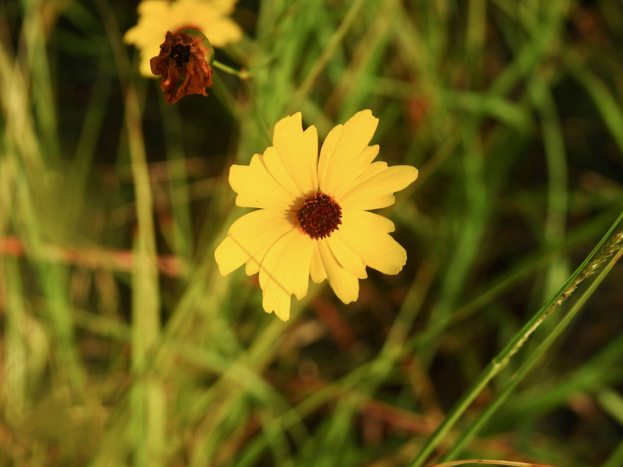 tickseed- coreopsis leavenworthii, Photo by Art Smith