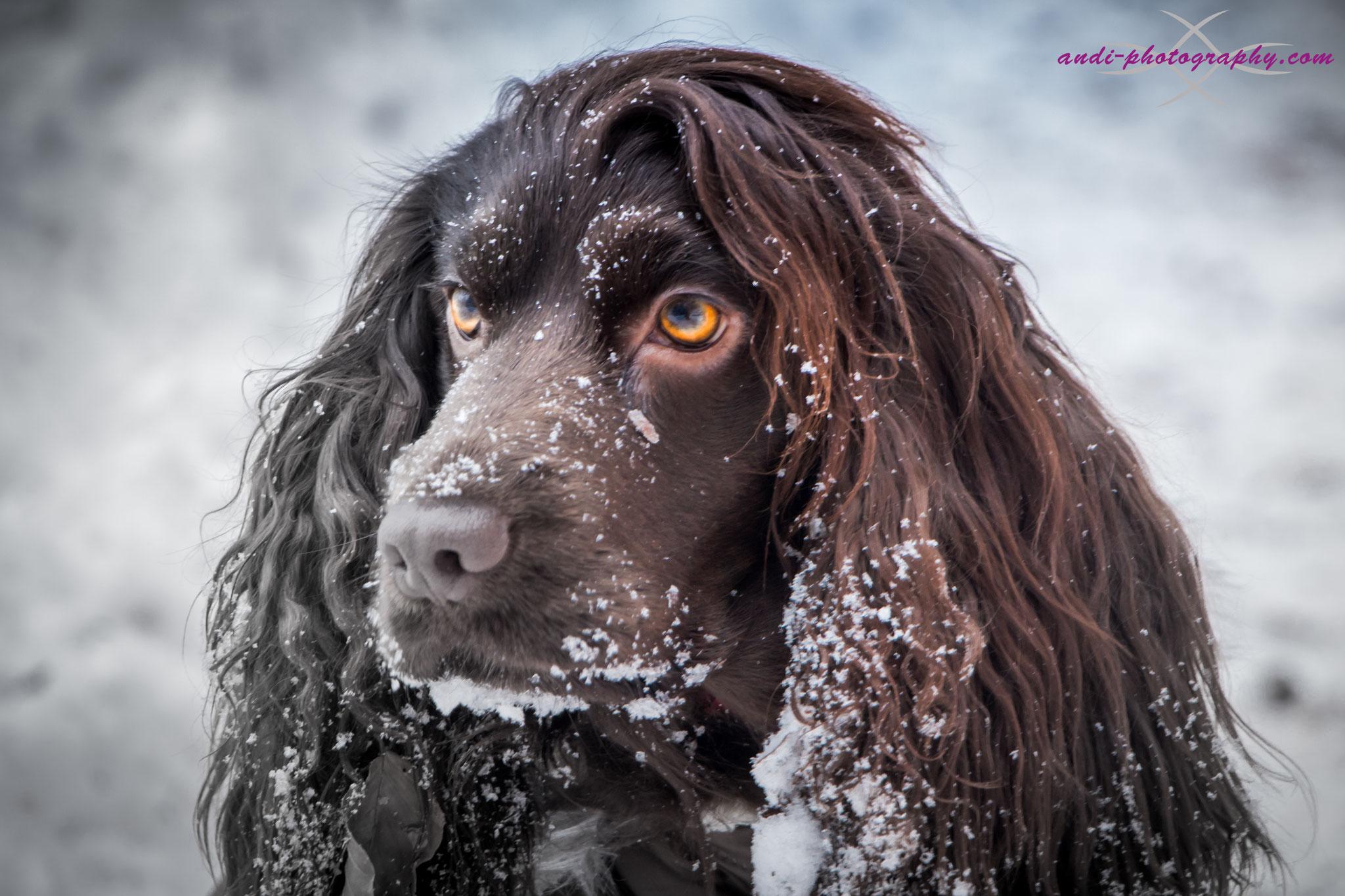 Unser Schlittenhund Alara