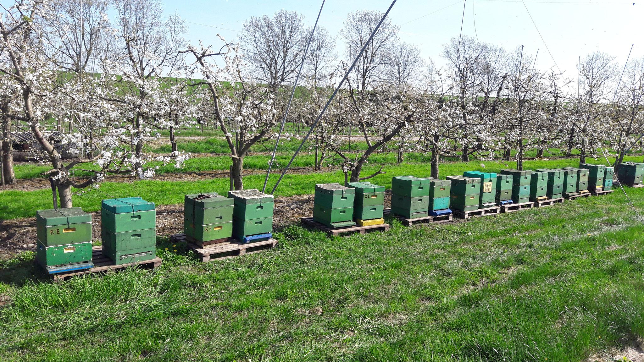 """Bienenvölker in der Kirschblüte im """"Alten Land"""""""