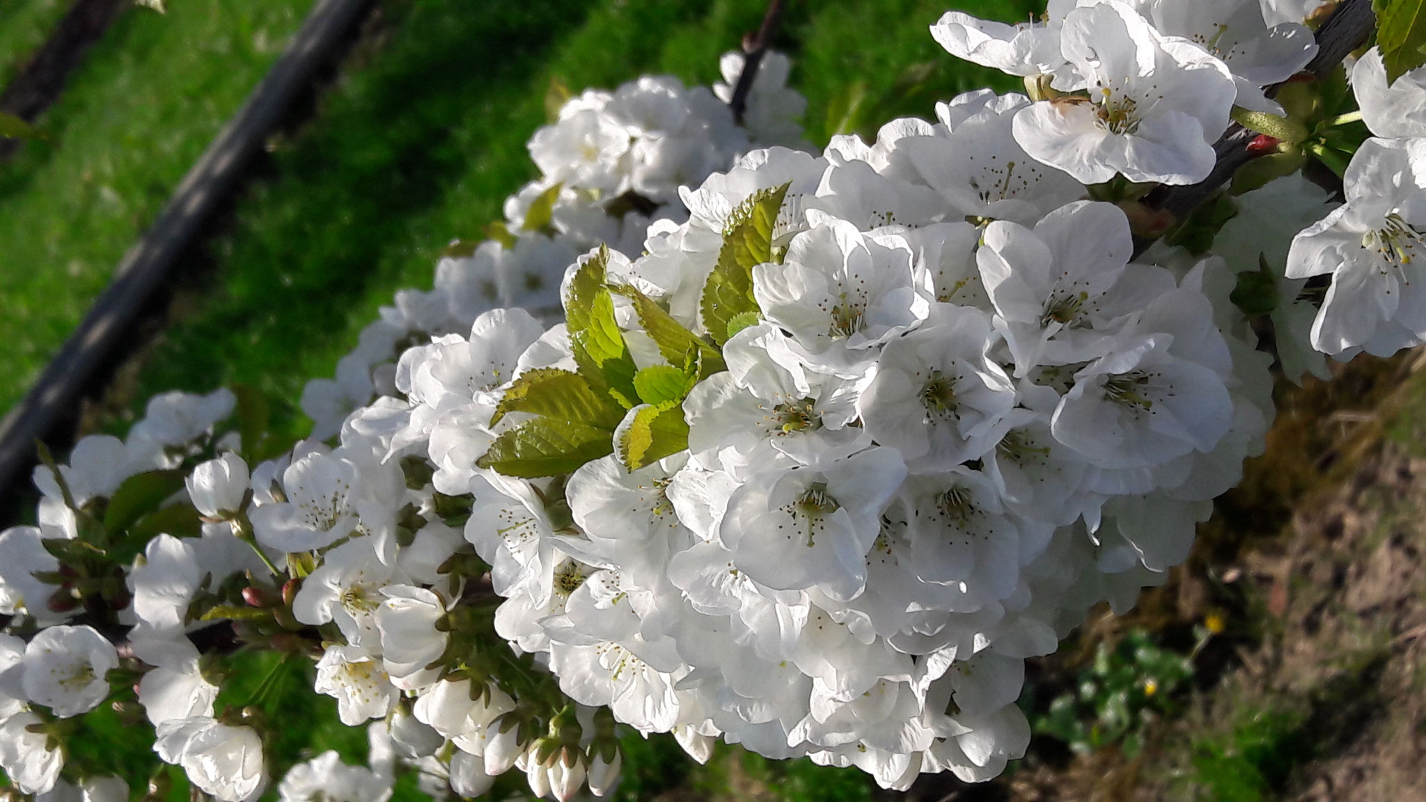 Prächtige Kirschblüten.
