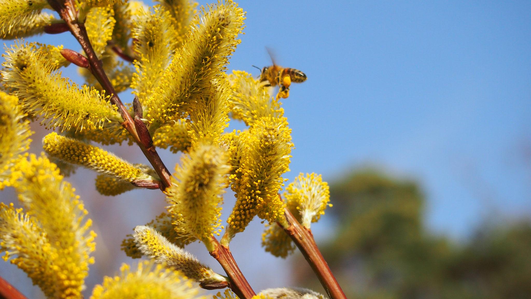Biene an einer Weidenblüte.