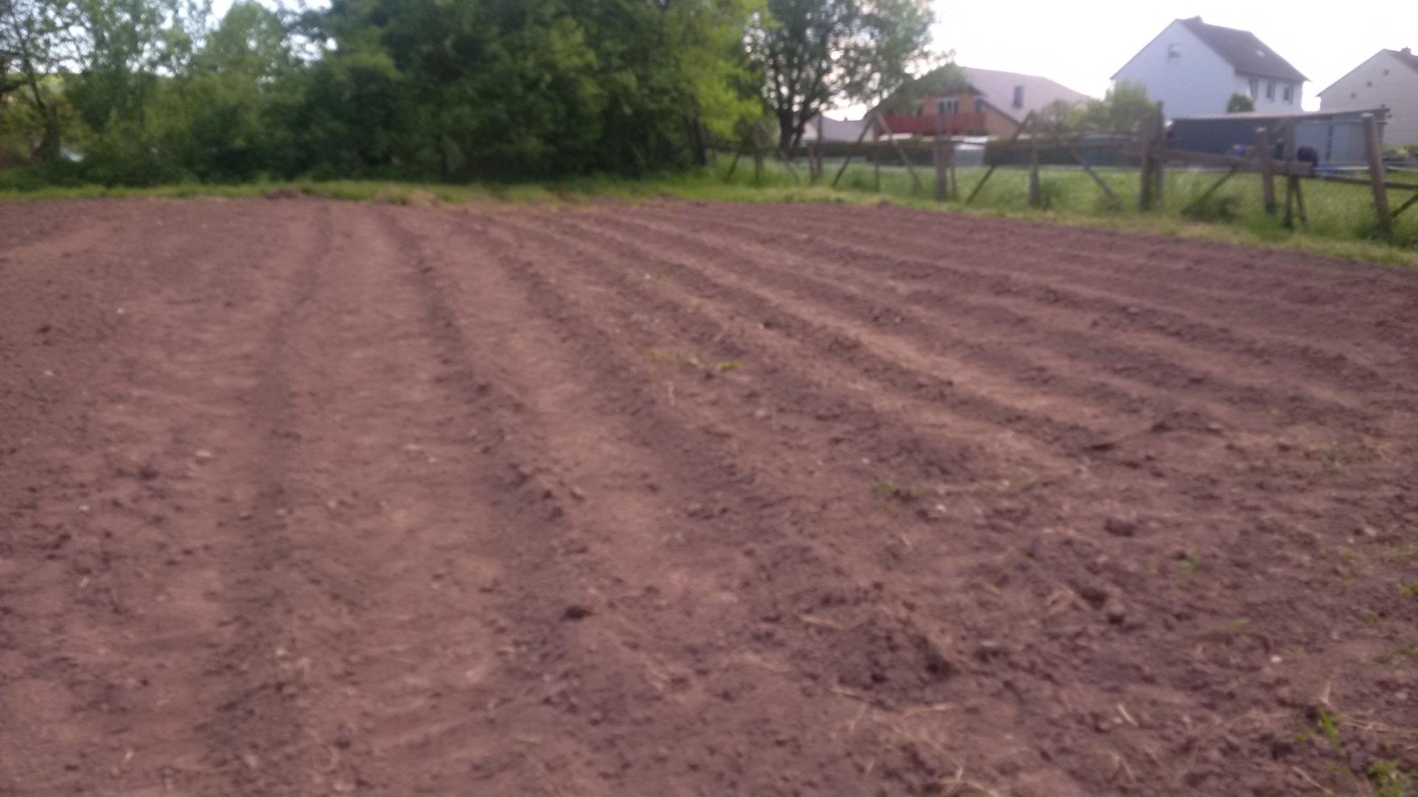 11 Reihen Kartoffeln konnten wir bei der Nachbarin auf dem Grundstück noch setzen! Danke, Lydia!