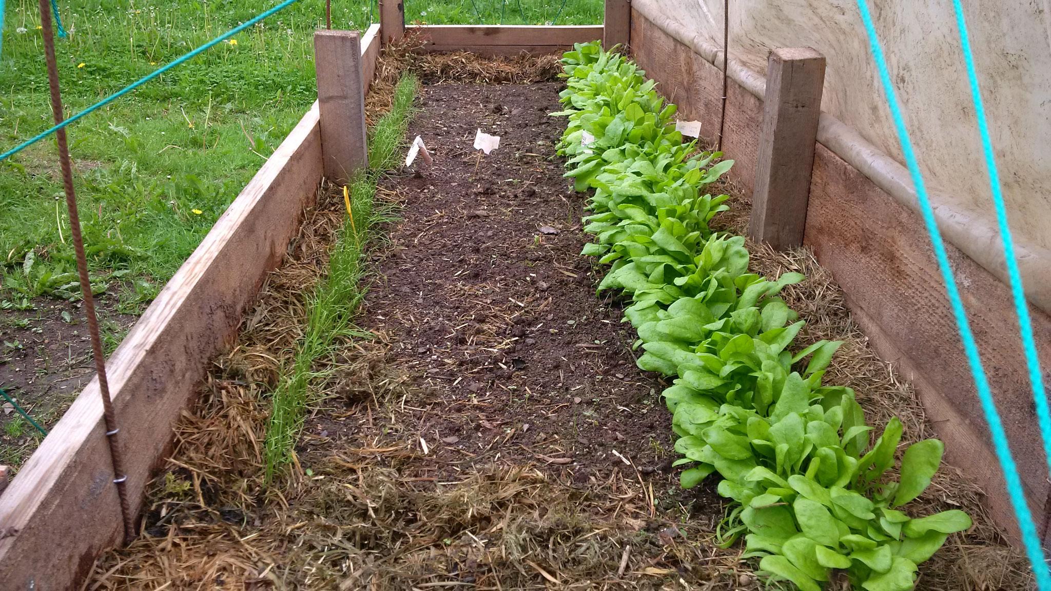 Links die Keimlinge der weißen langen Zwiebel. Dazwischen ein paar Gemüse- und rote Zwiebeln. In jedem Fall Platz satt zum Vereinzeln
