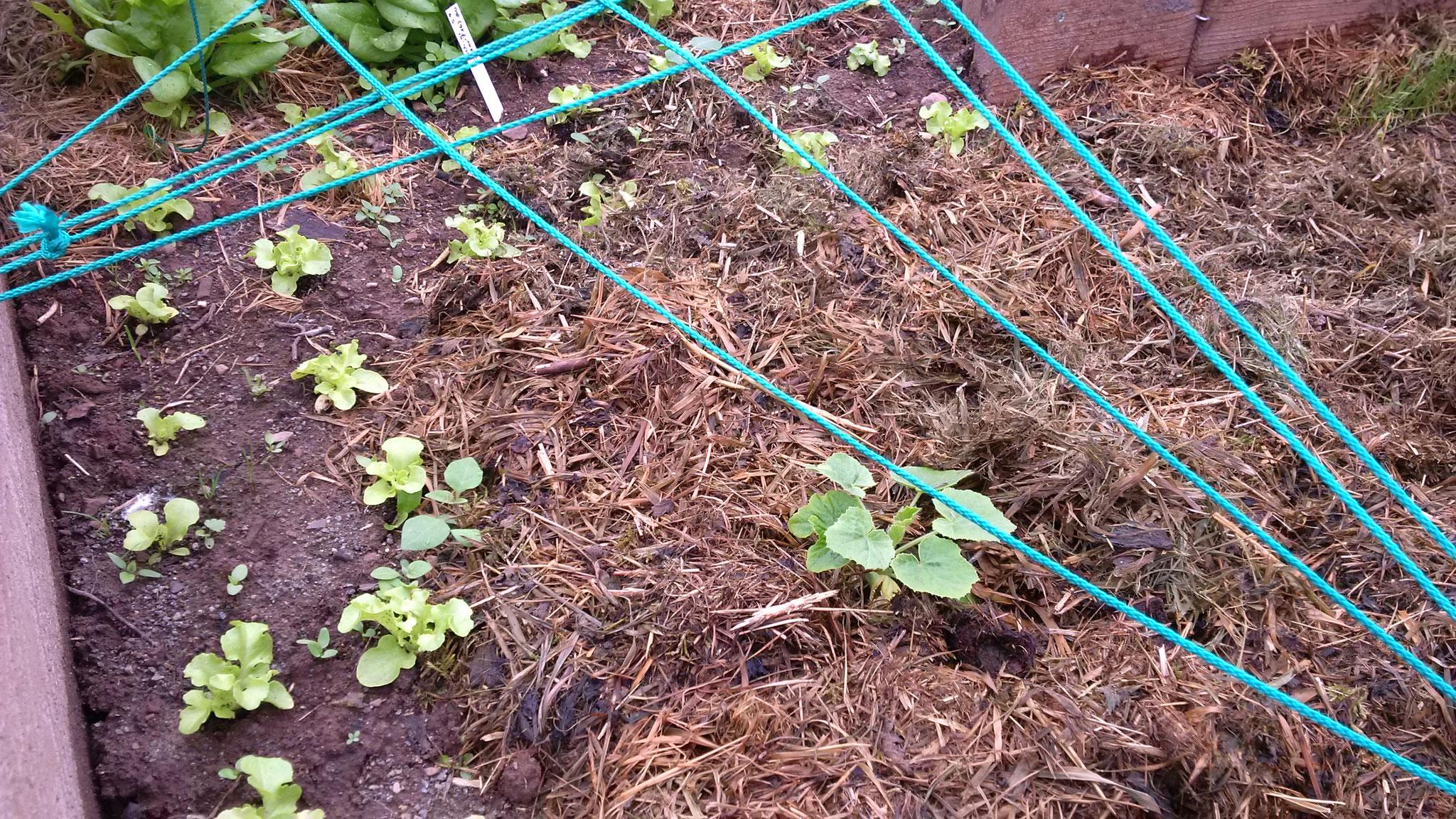 Salatköpfe und die vierte Hokaido-Pflanze