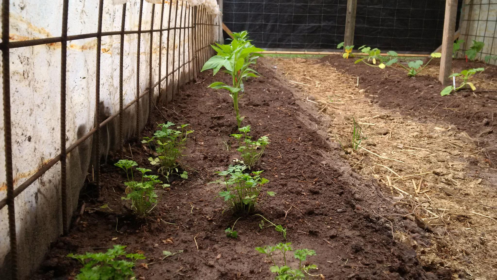 Die Petersielei und die Paprika/Chilli wachsen erfreulich schnell.