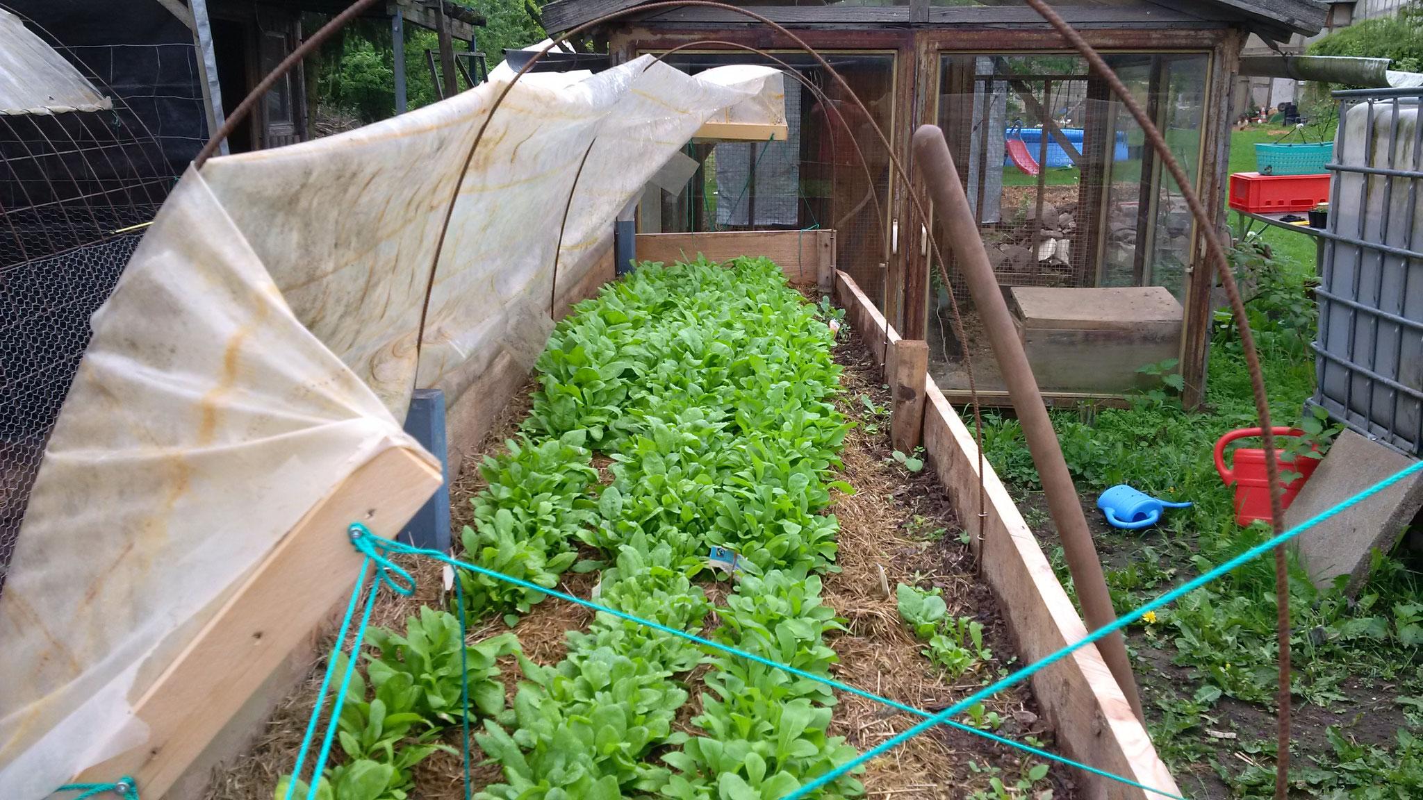 Spinat und Salatrauke. Rechts solte eigentlich noch eissalat kommen... Dafür haben wir 10 Blumenkohlkeimlinge dahinter