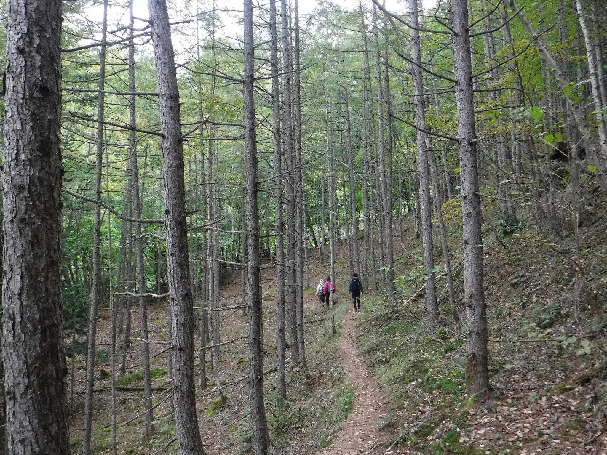 登山口からしばらく続く、カラマツ林