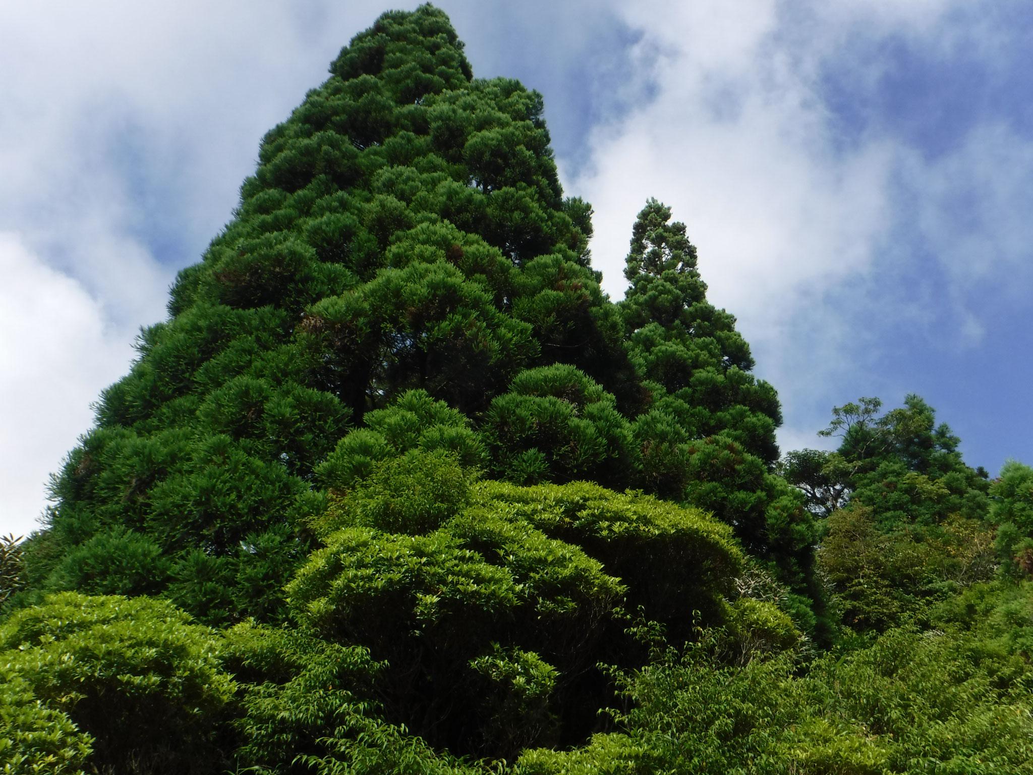 鹿之沢(シカのさわ)小屋周りの、剪定した様な美しい樹形