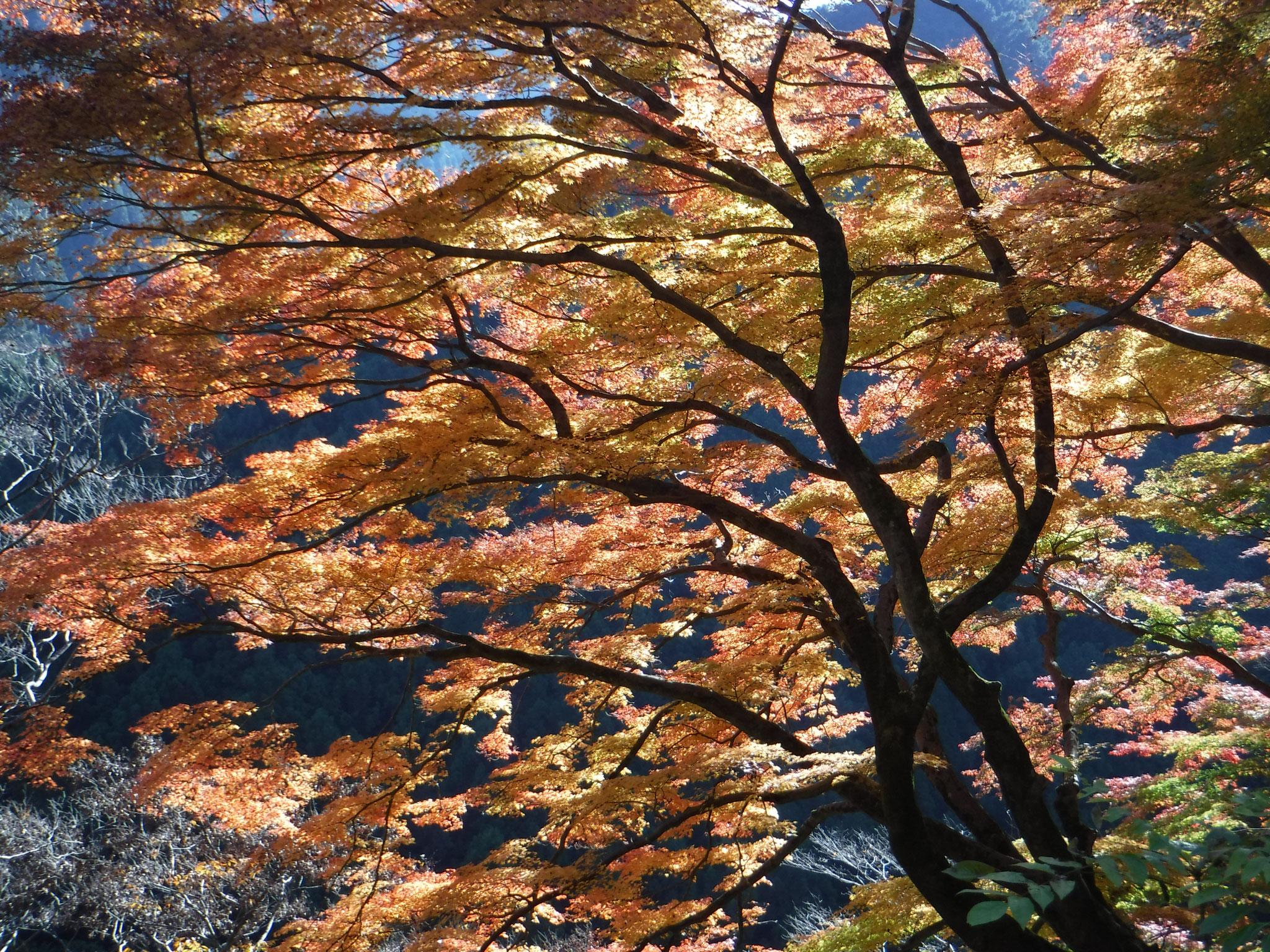 いろは楓、南向きの急斜面に張り出す大木、逆光で美しい。