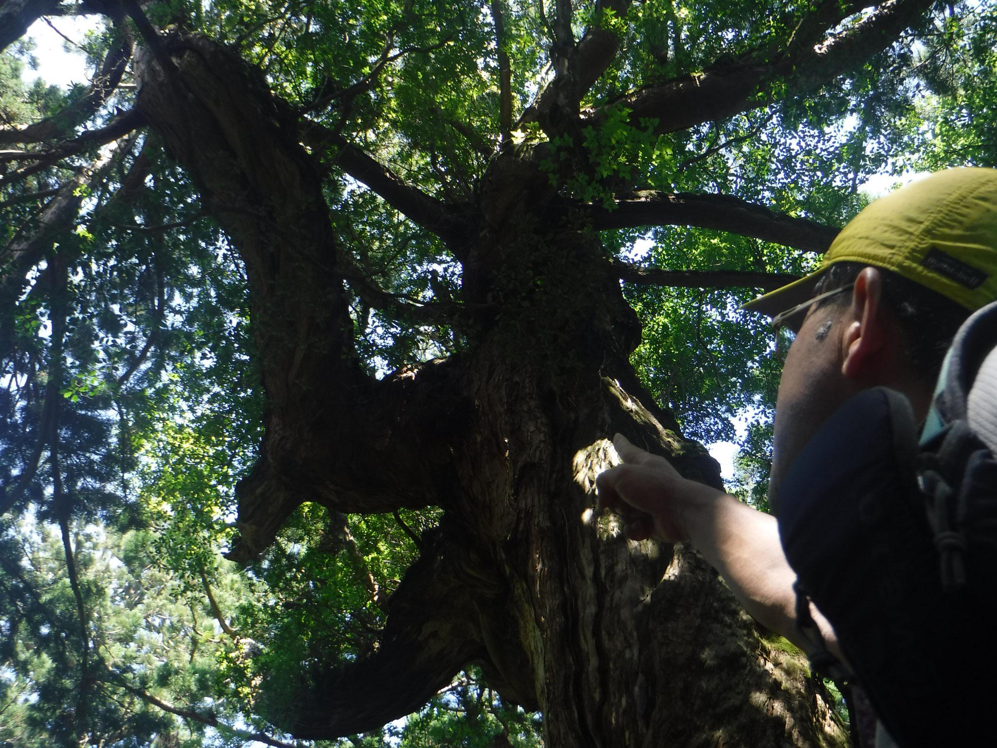 10:10 花山広場の異様に太い枝を持つ巨木