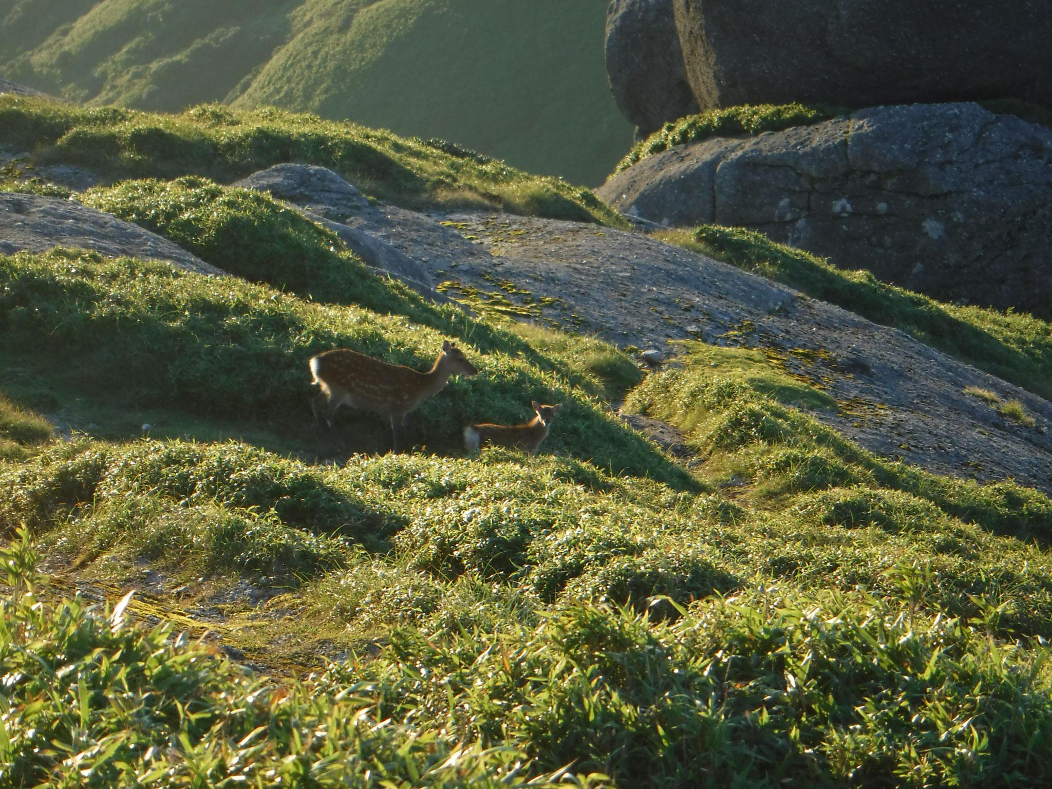 永田岳山頂直下、鹿の親子