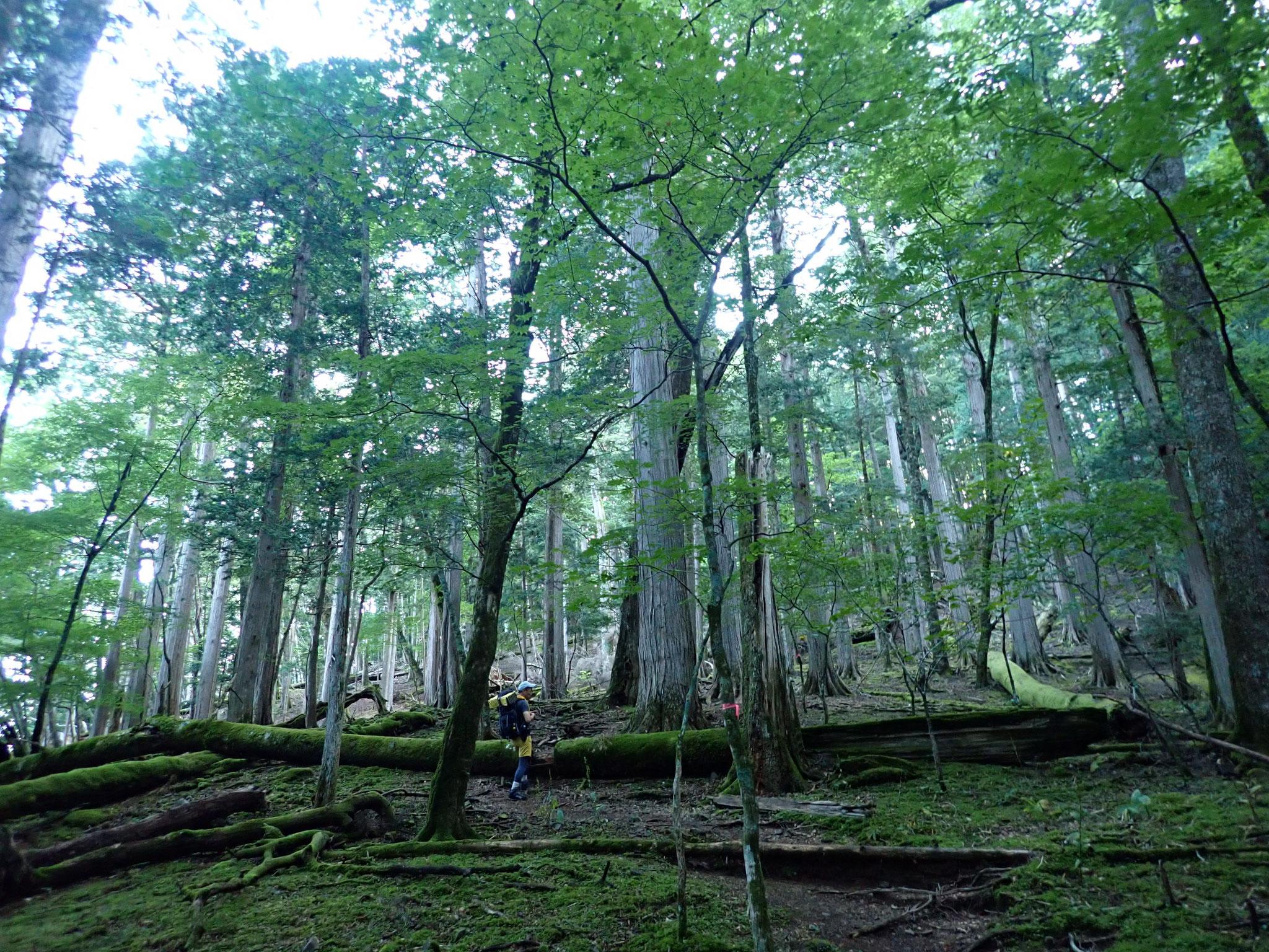 面平付近はサワラやヒノキの大木がそびえる、みとれる空間