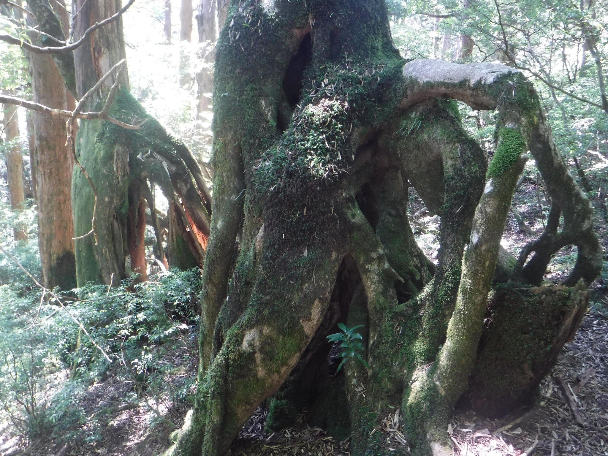 奇怪な樹木の形態
