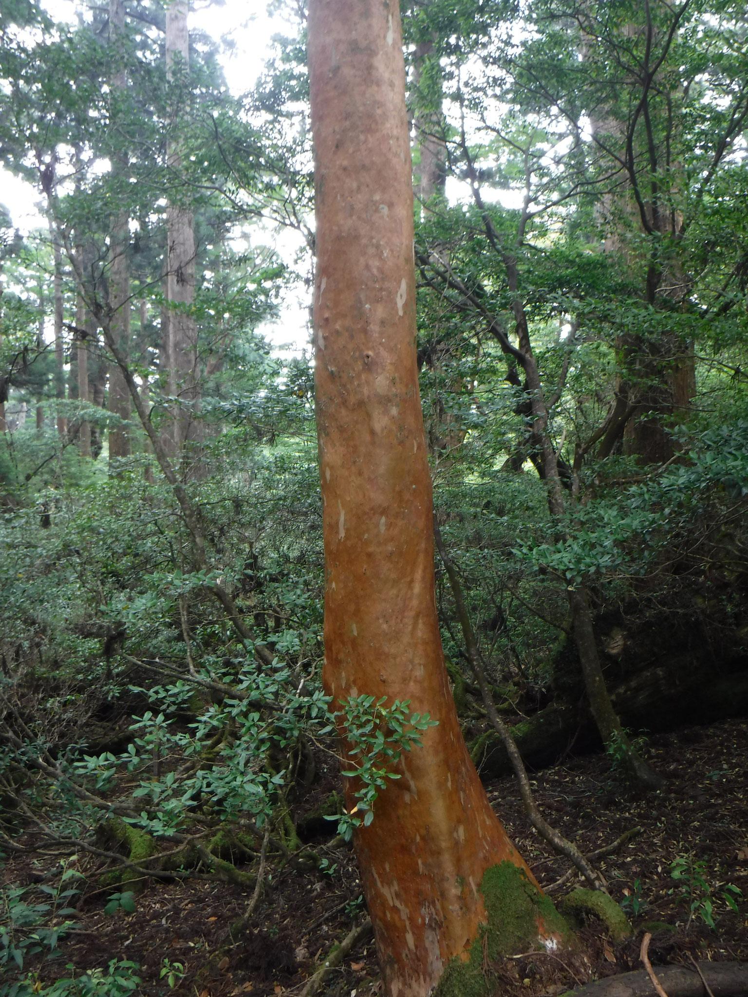 滑らかな木肌の、ヒメシャラ