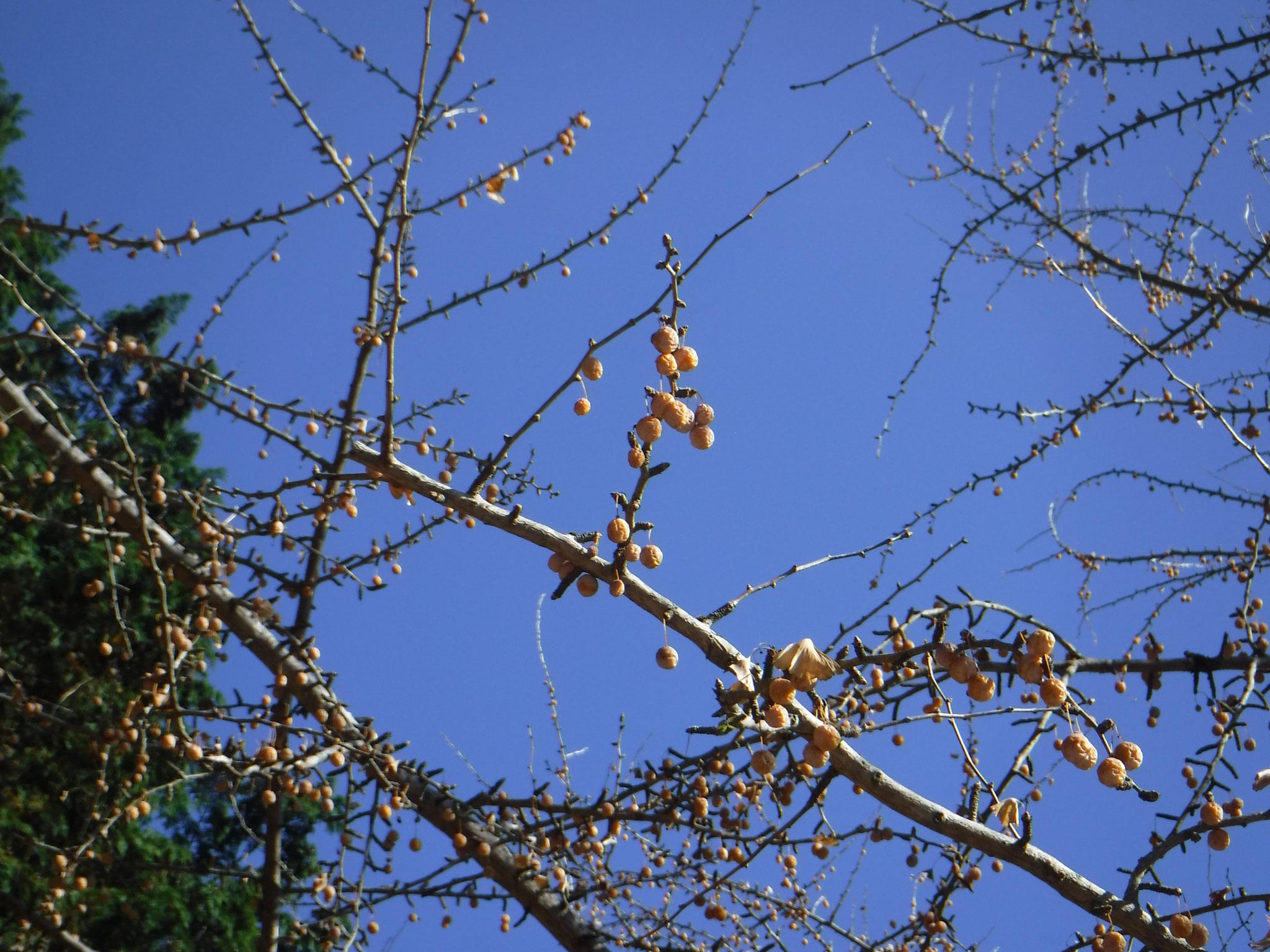 落葉した木に残る銀杏