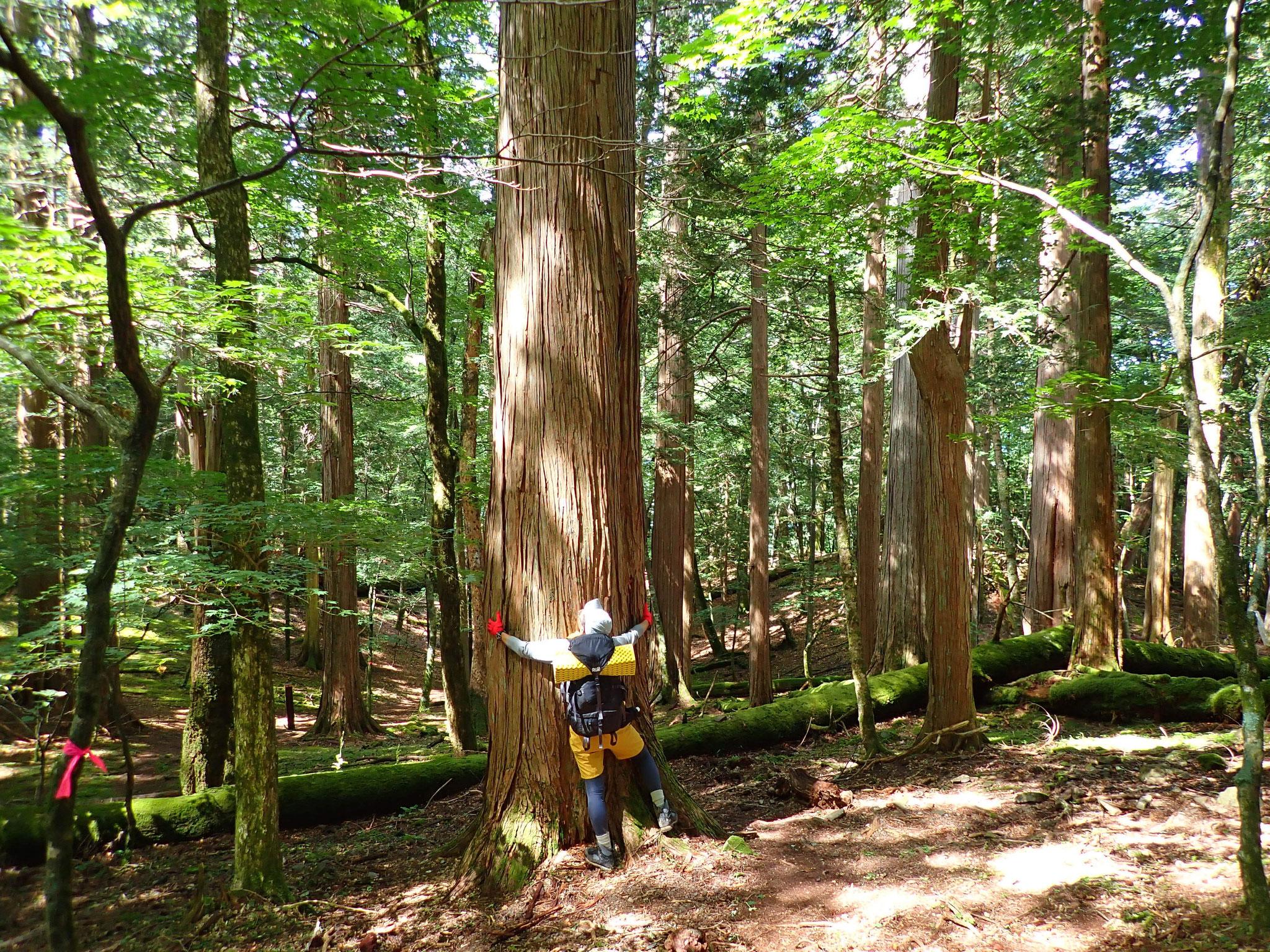面平付近の檜?の大木