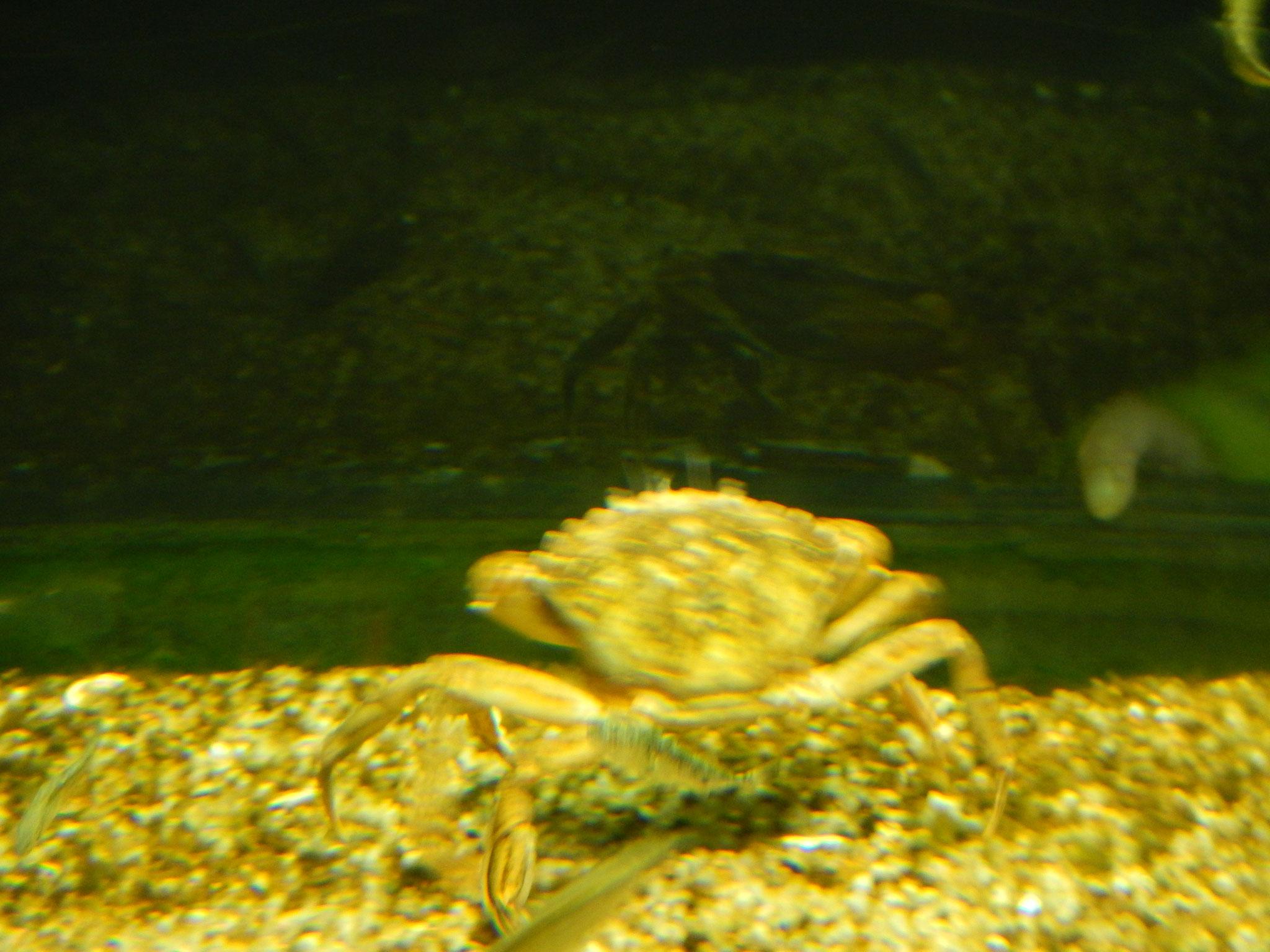Krabbe oder Krebs