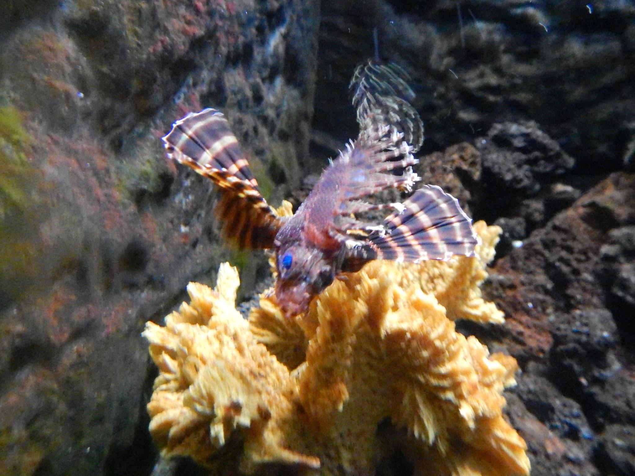 junger Drachenfisch