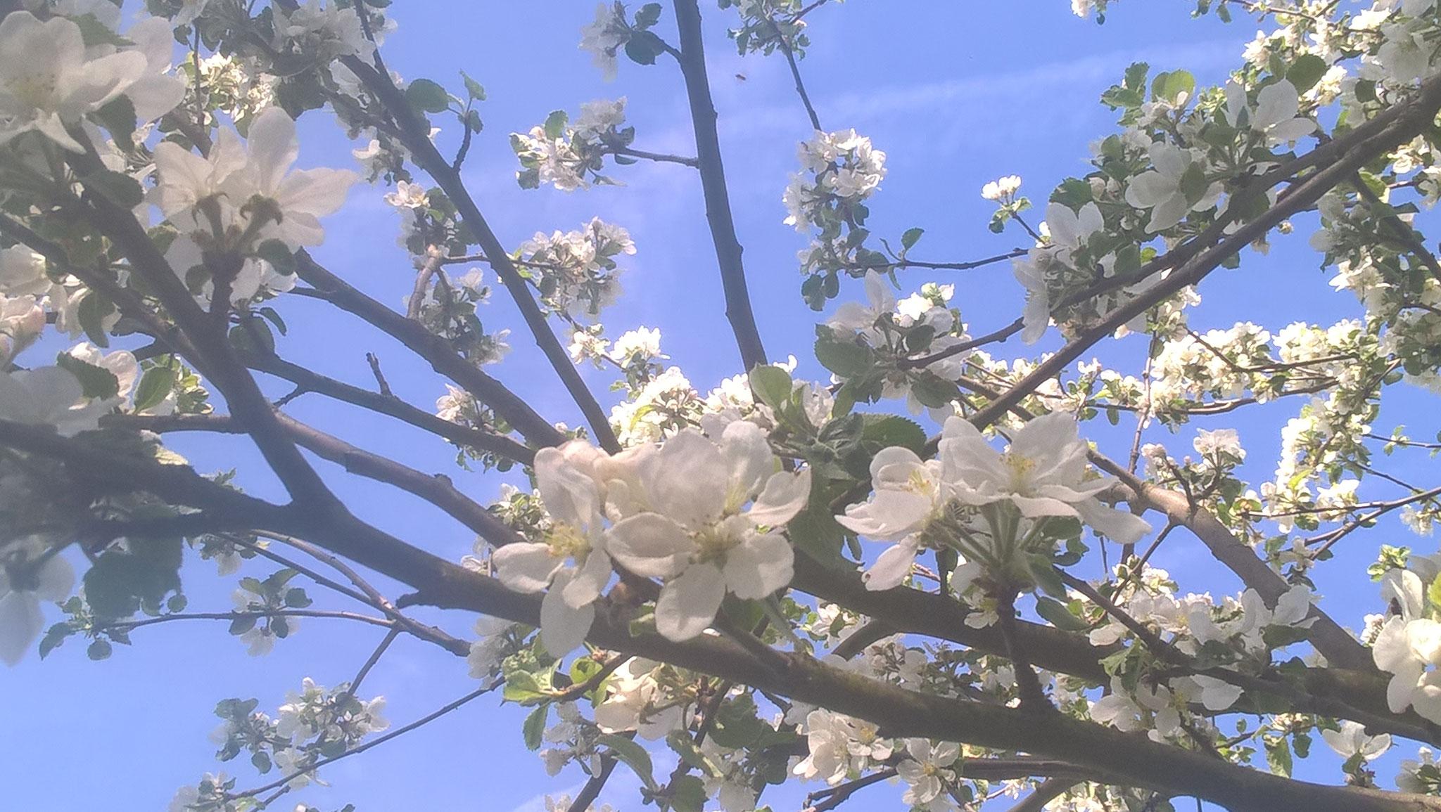 Apfelbaumblüten. Foto: R. Nagel-Kroll