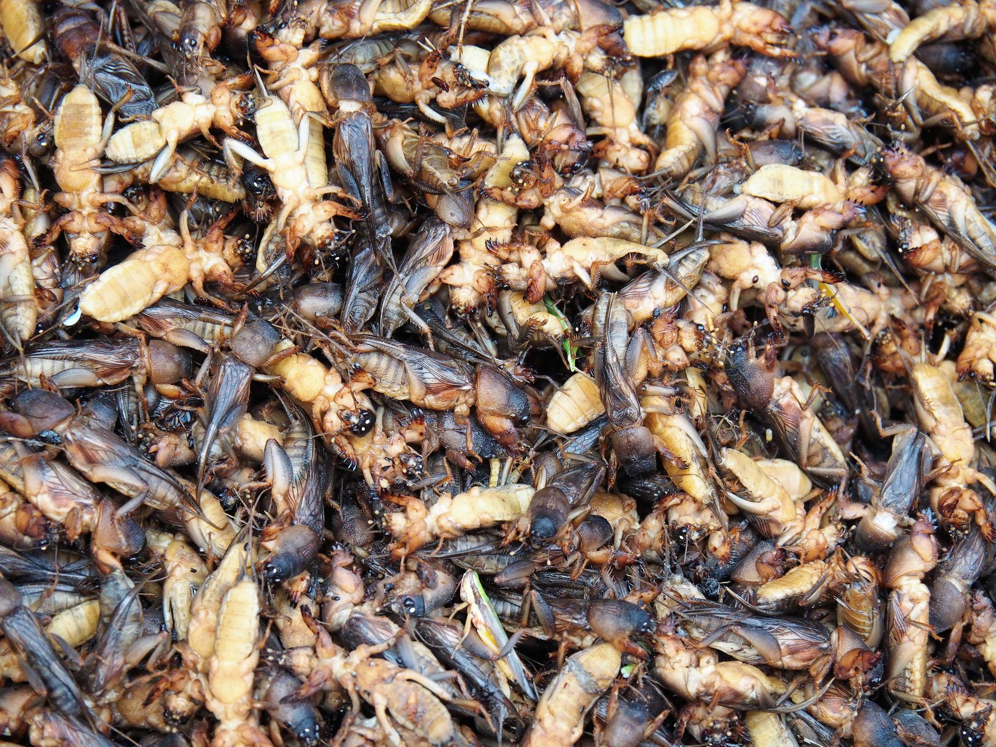 unbekannte Krabbler, vermischt mit einzelnen Kakerlaken