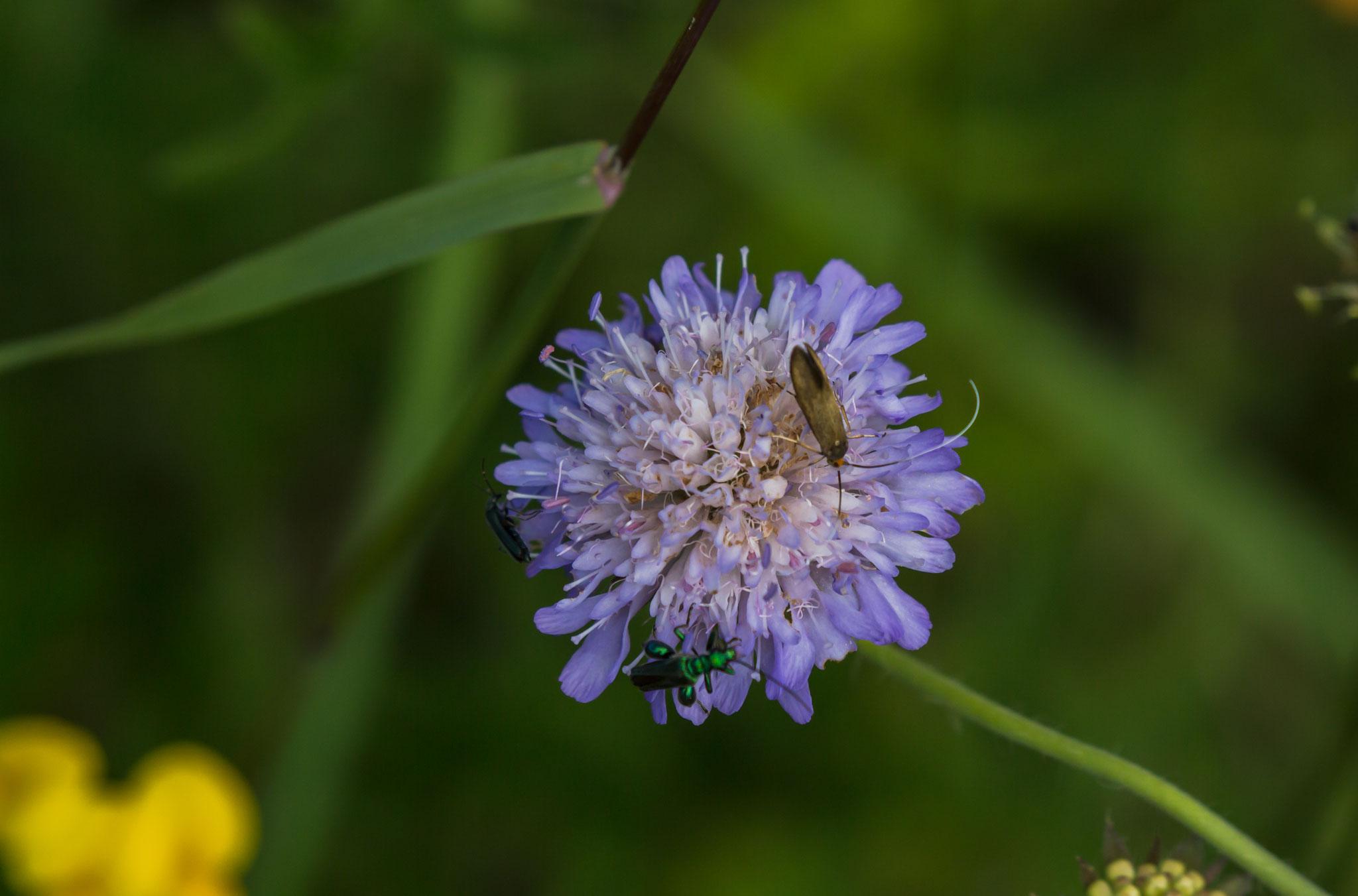 Nemophora metallica-Metallische Langhornmotte und Grüner Scheinbockkäfer-Oedemera nobilis-an Witwenblume
