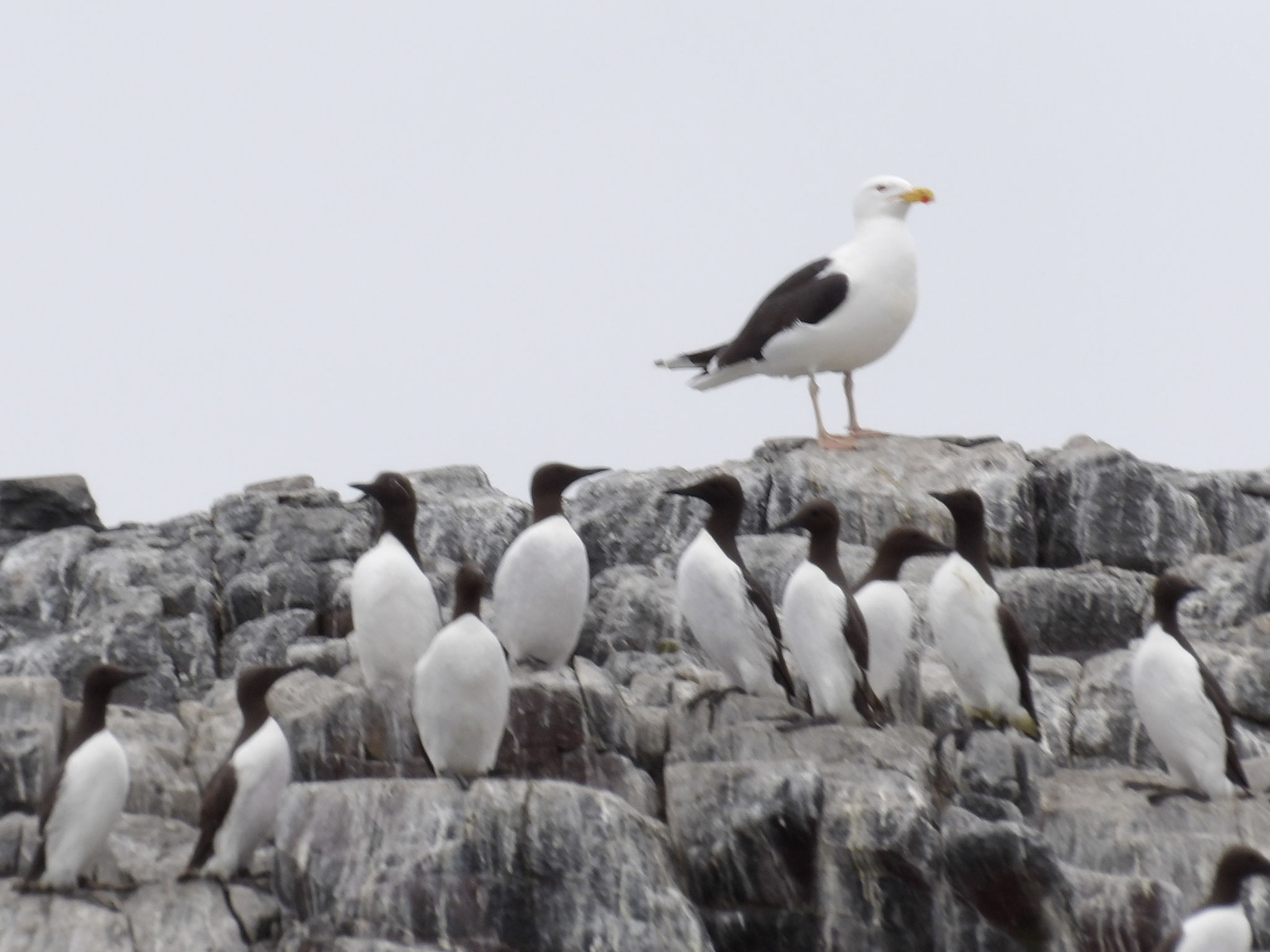 Great black-backed gull Larus marinus with guillemots
