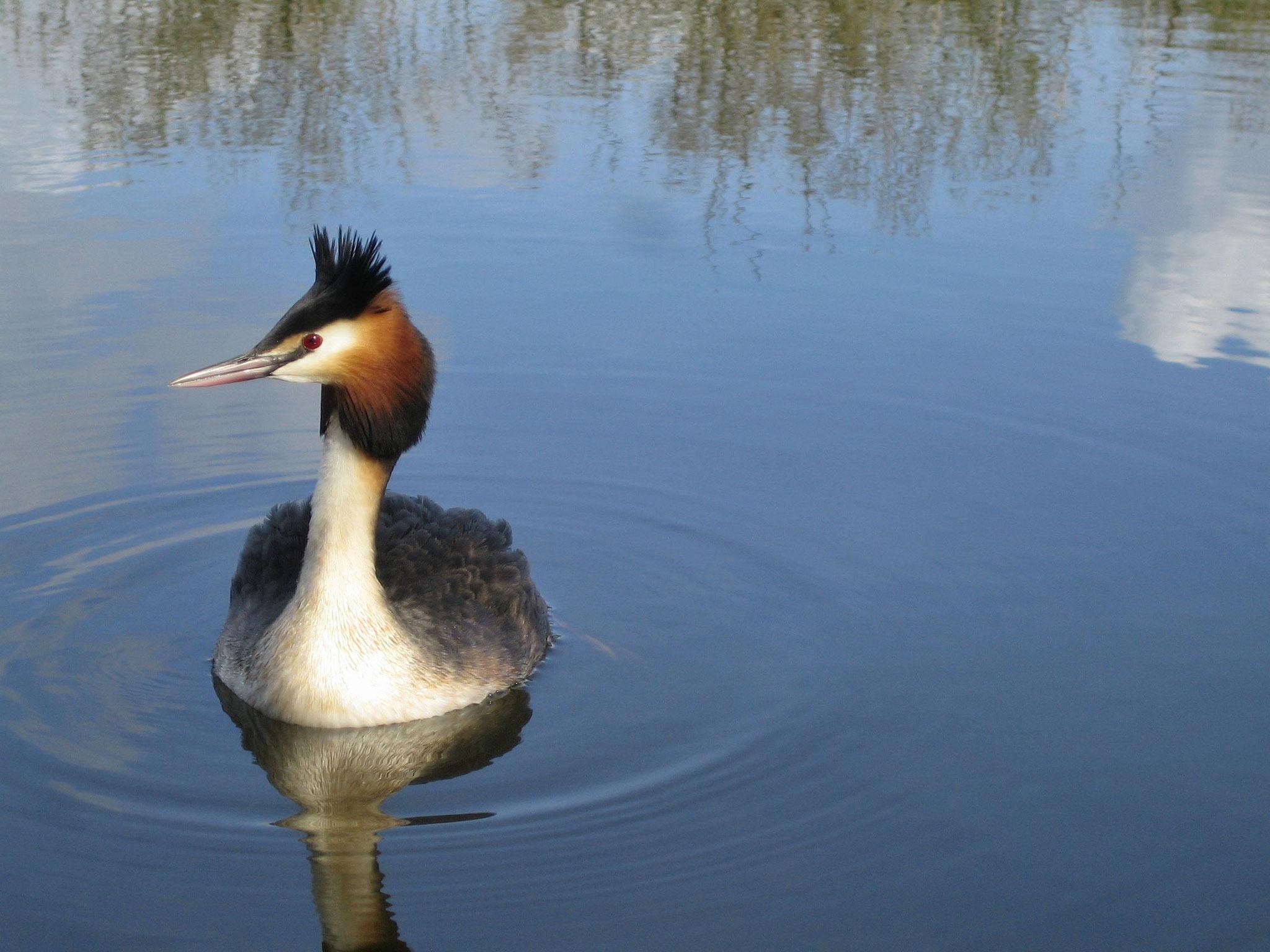 Le Teich, Vraies vacances sur le Bassin d'Arcachon - Grèbe huppé