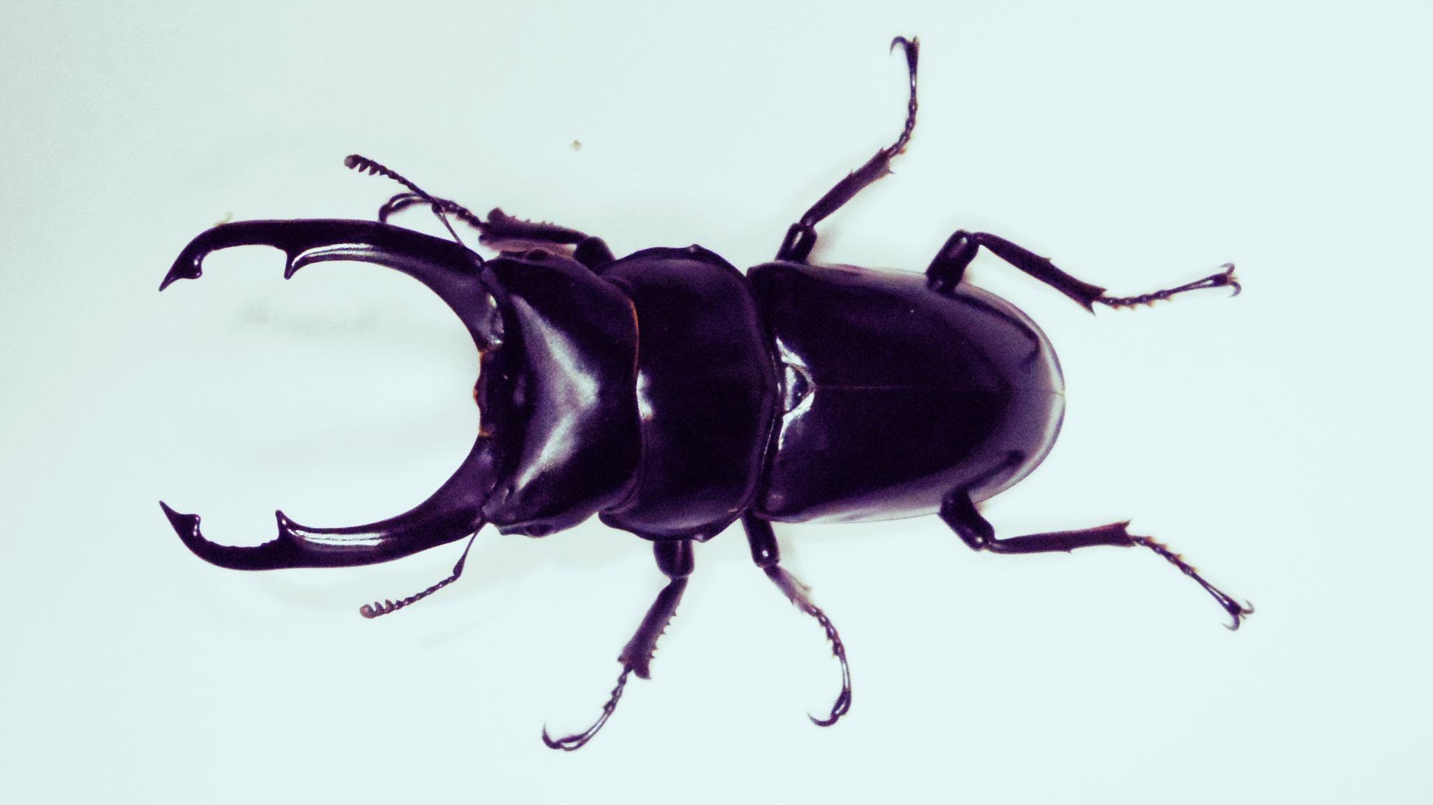 Hemisodorcus nepalensis