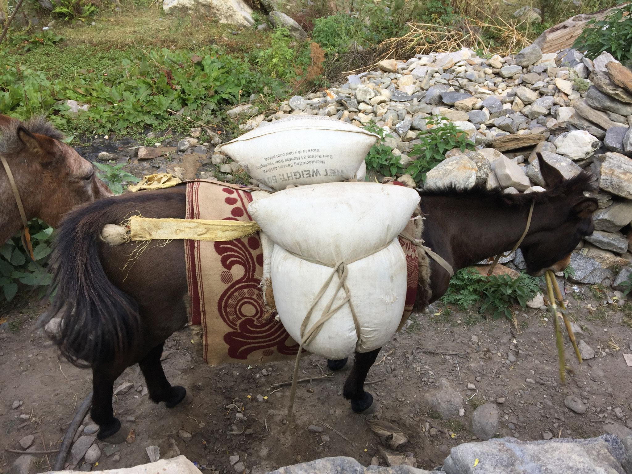 Maultier mit 100 kg Reis