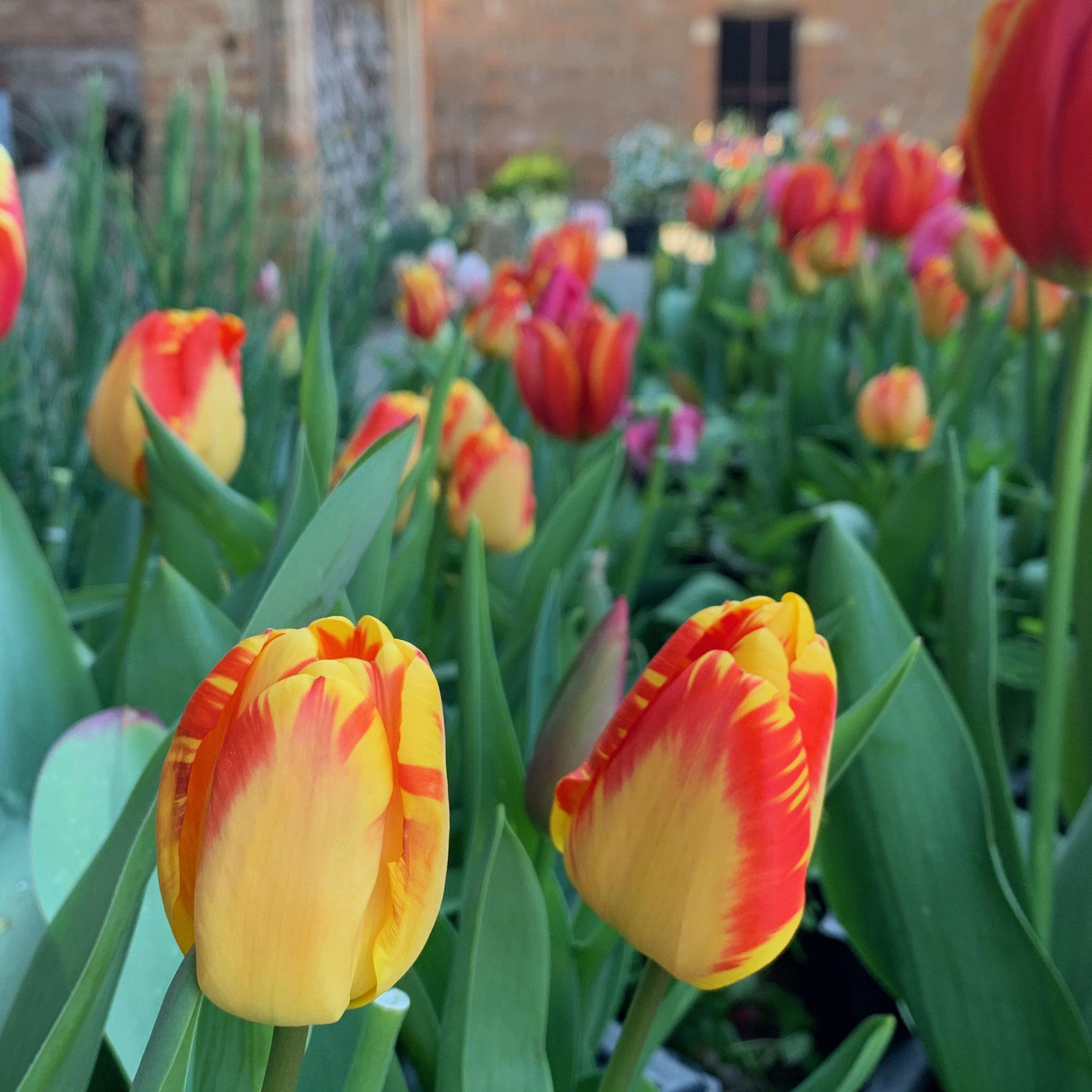 Tulipe Darwin Banja Luka