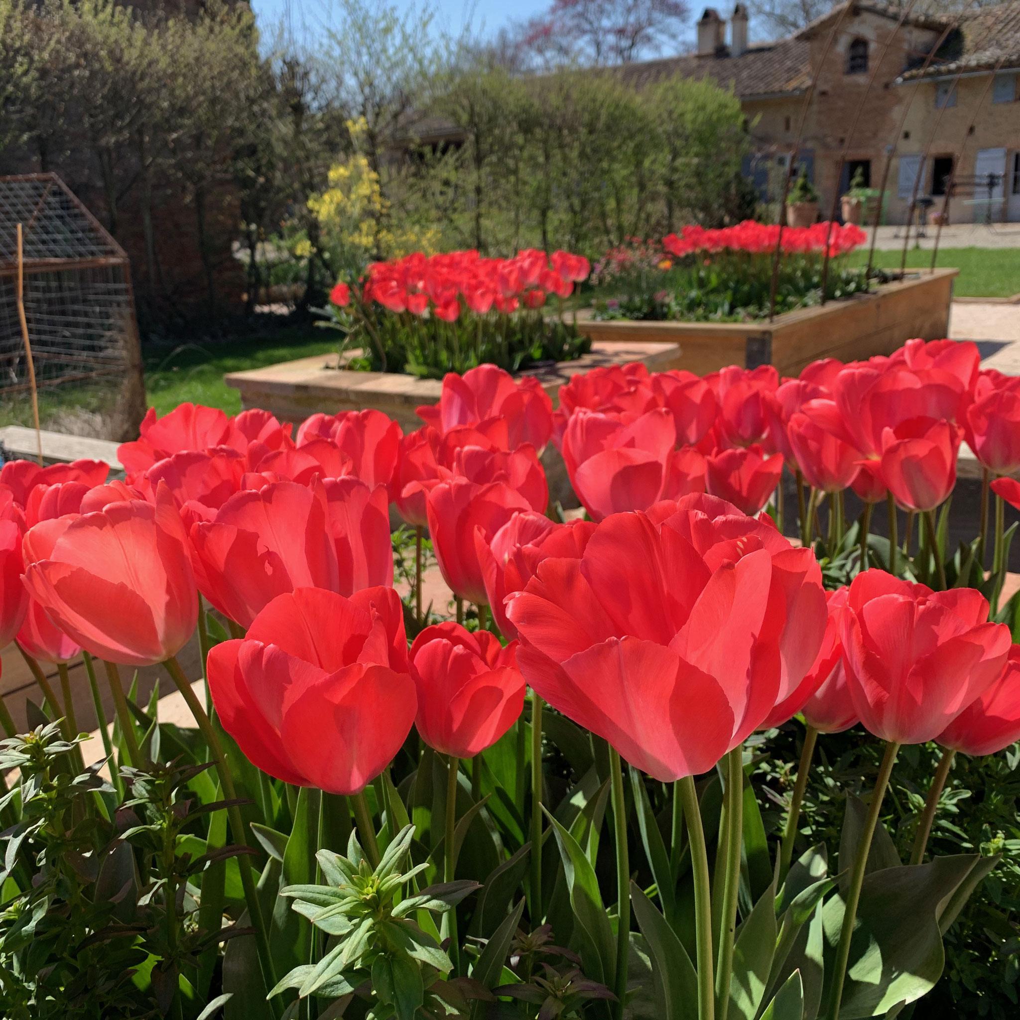 Tulipe Van Eijk