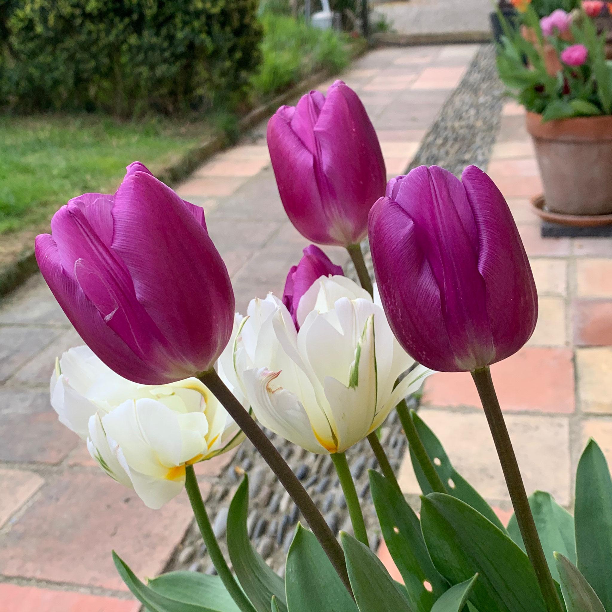 Tulipe Triomphe Pittsburg + Exotic Emperor