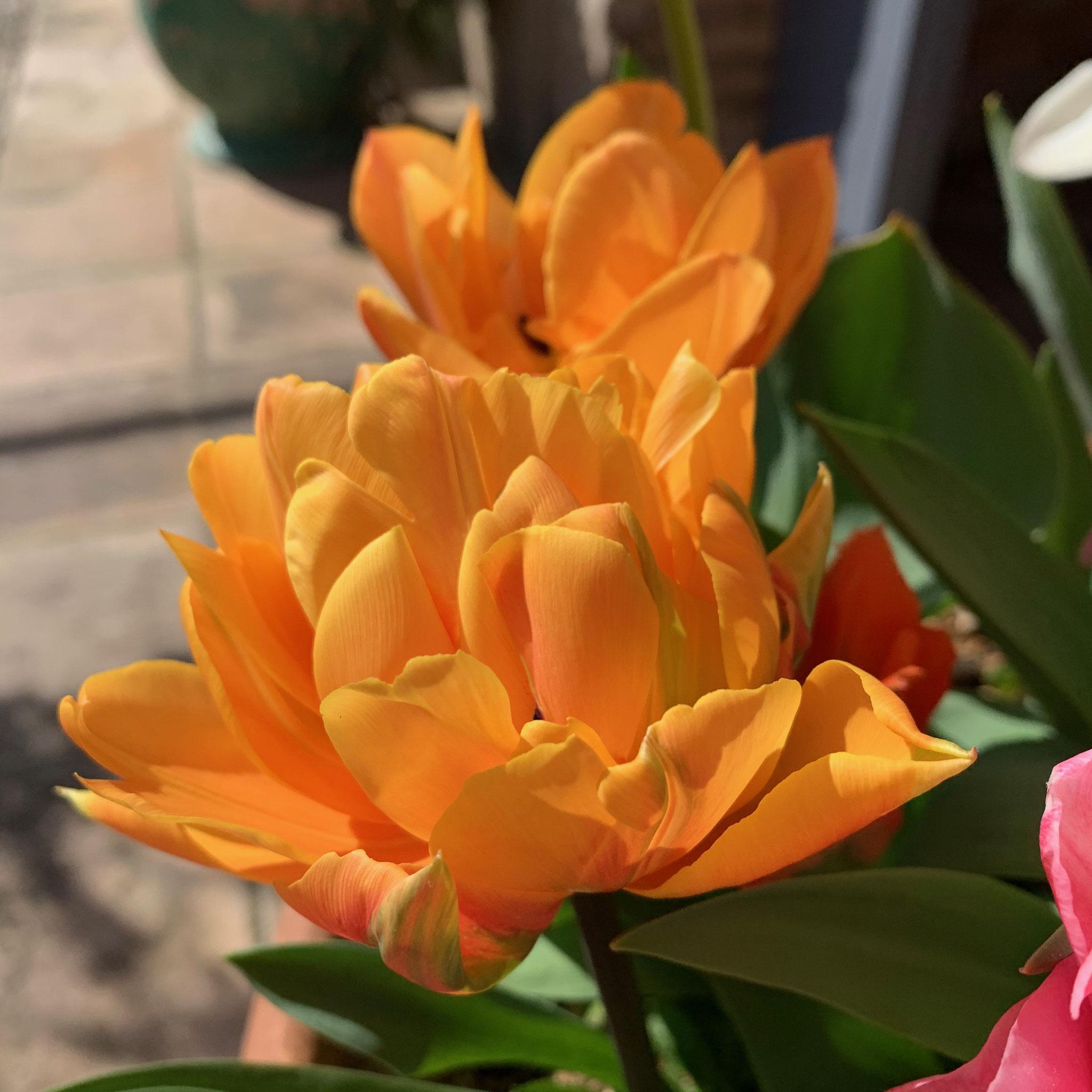 Tulipe double hâtive Foxy Foxtrot