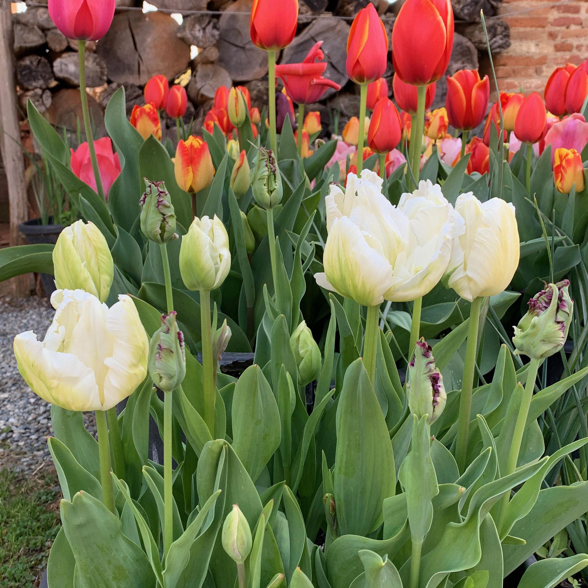 Tulipe Perroquet White Parrot