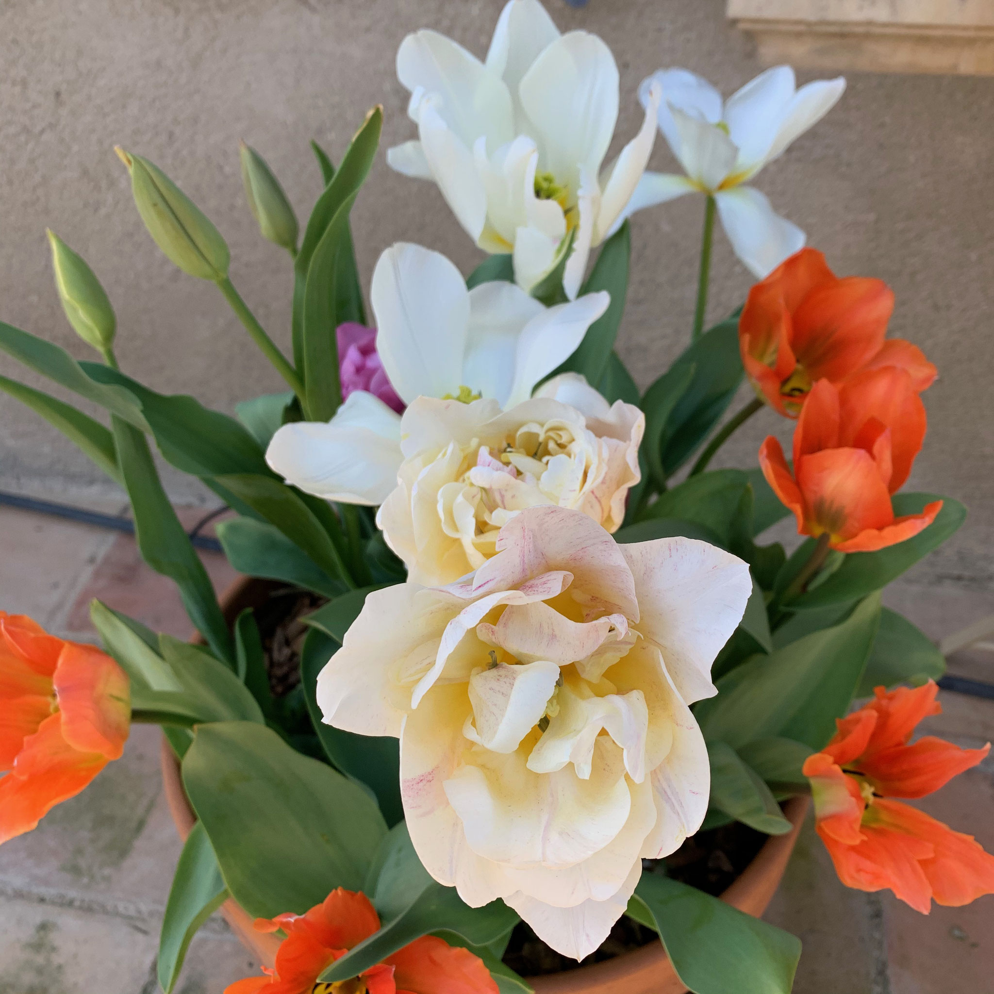 Tulipe double Silk Road