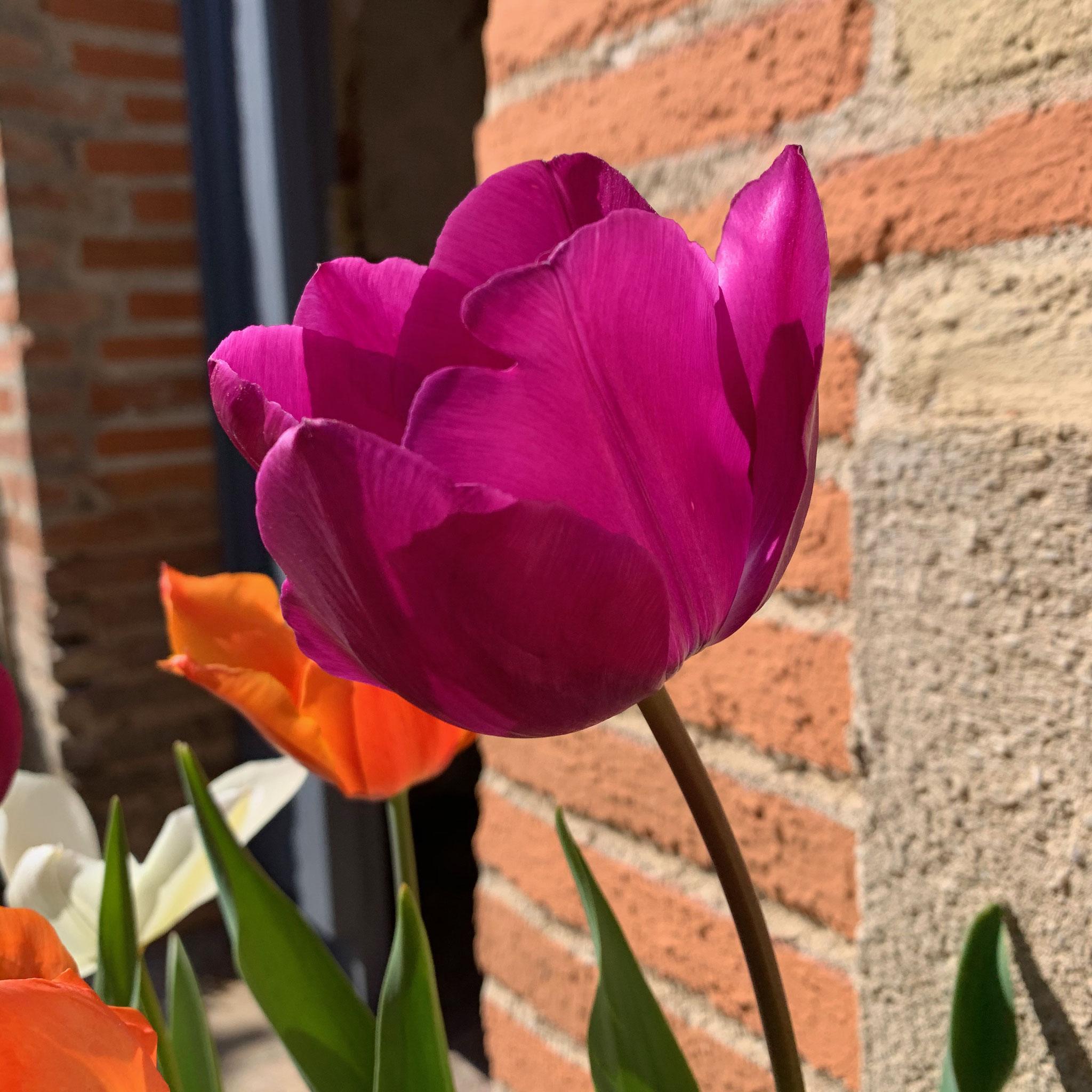 Tulipe Triomphe Négrita