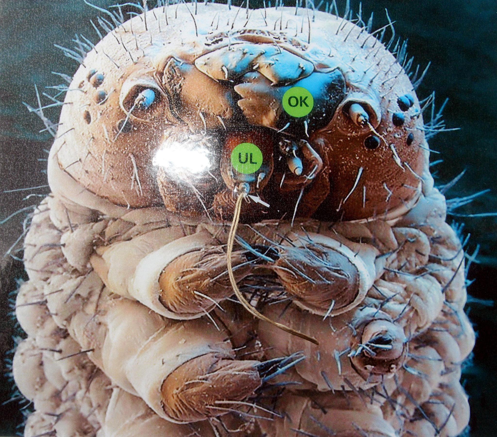 Blick durchs Elektronenmikroskop: Aus der Spinnwarze an der Unterlippe (UL) wird das Seidensekret ausgepresst, das an der Luft schnell zu einem 0,02 mm dicken Seidenfaden erstarrt.