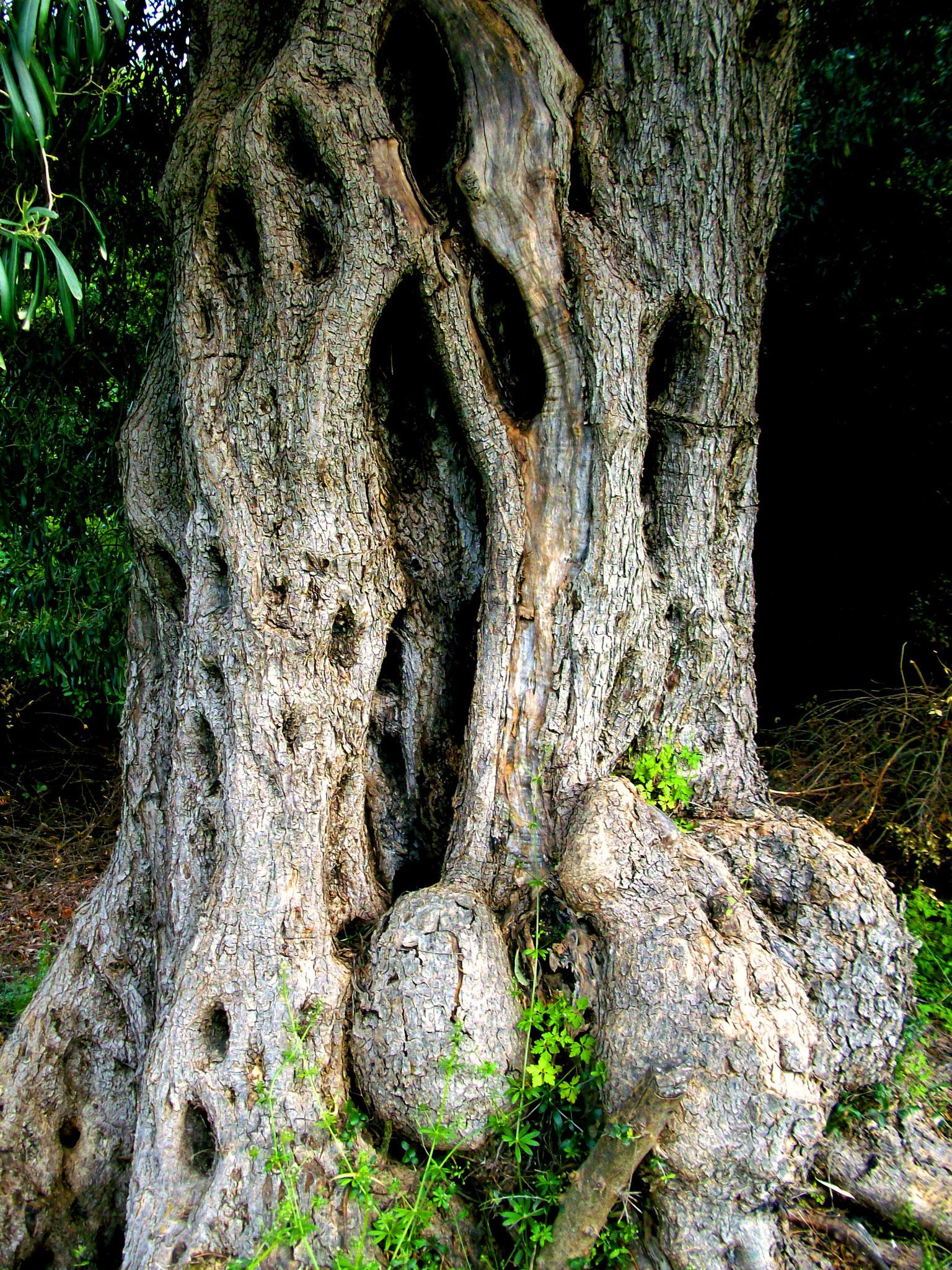 Olivenbäume Griechenland