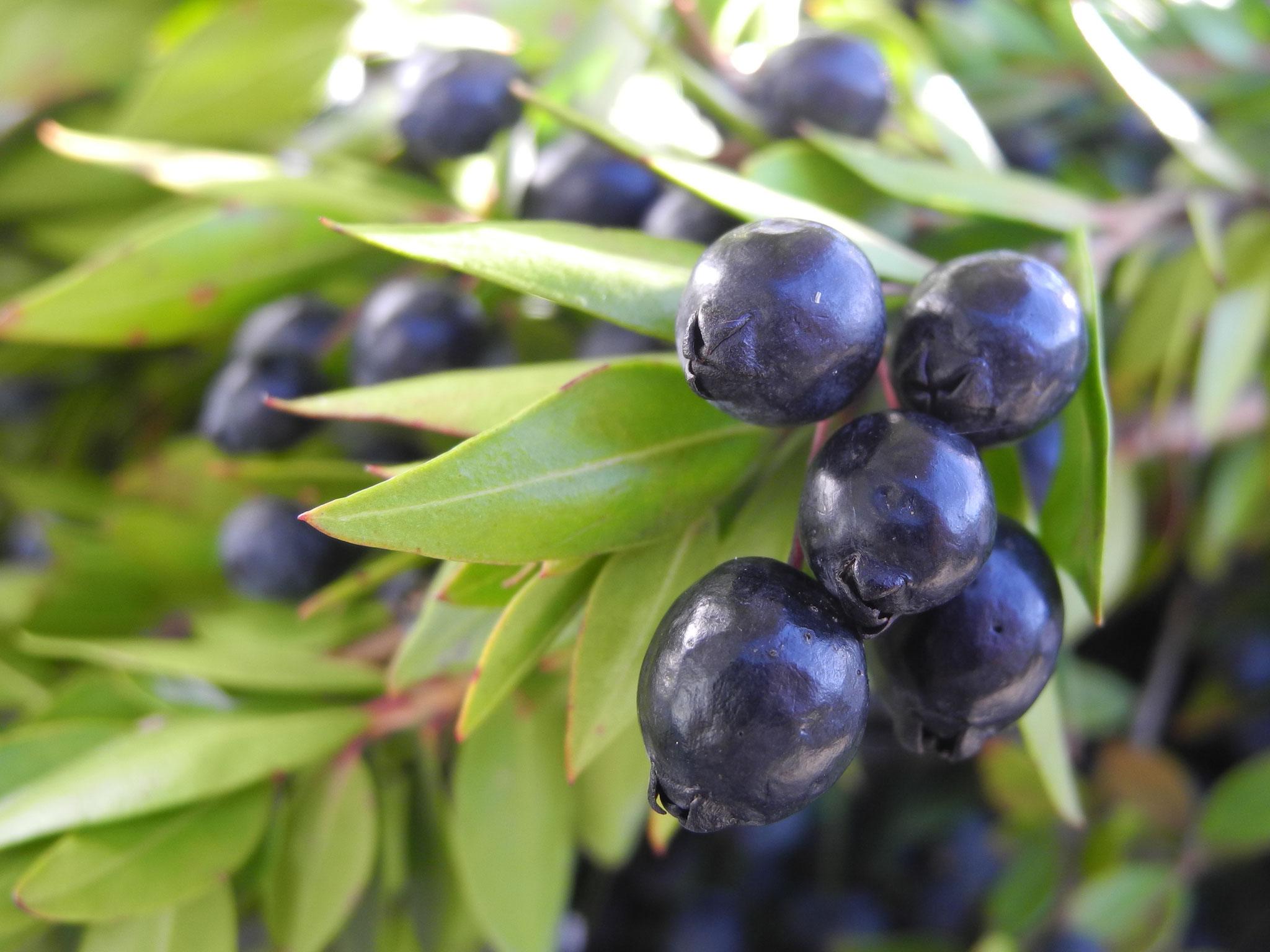 Myrte-Beeren und Blätter