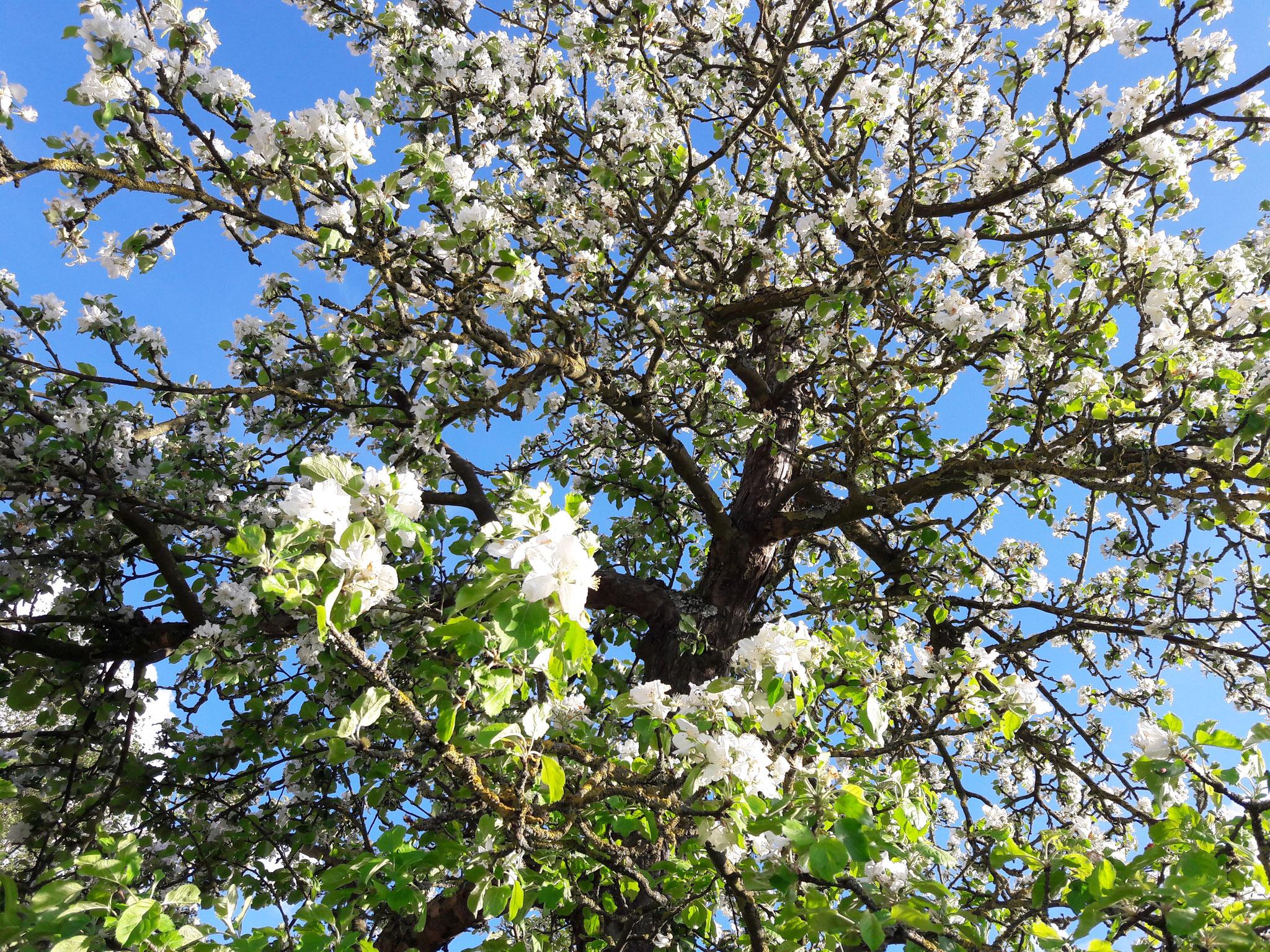 Apfelbaum (unser und eurer Wunschbaum)