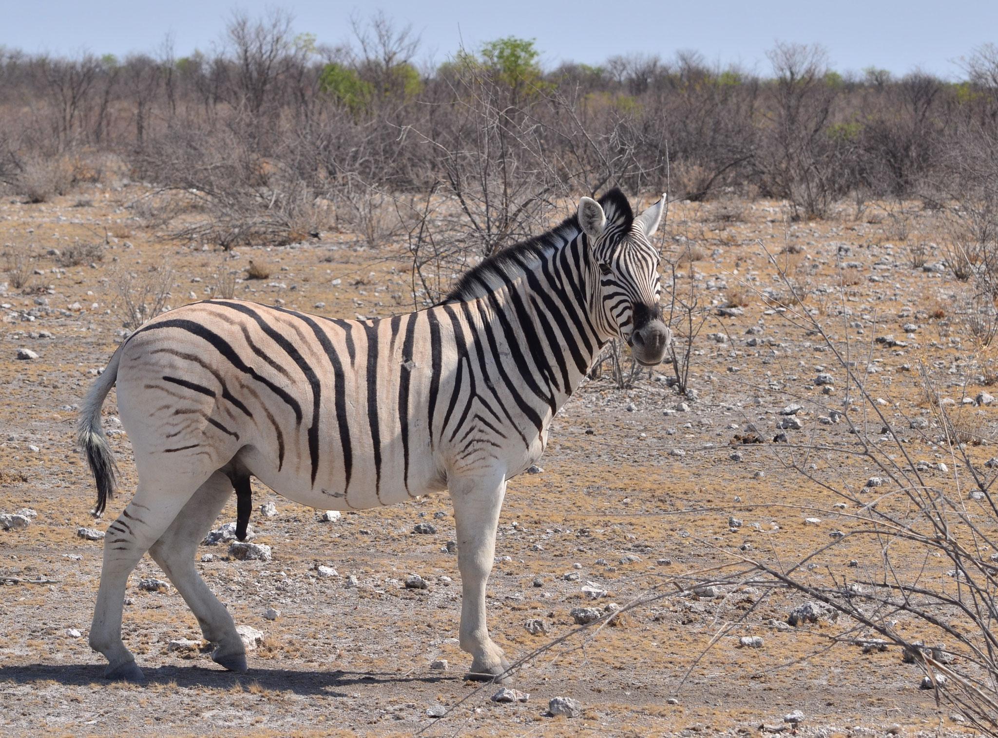 Zèbre des plaines (Parc national d'Etosha, Namibie)  Octobre 2016
