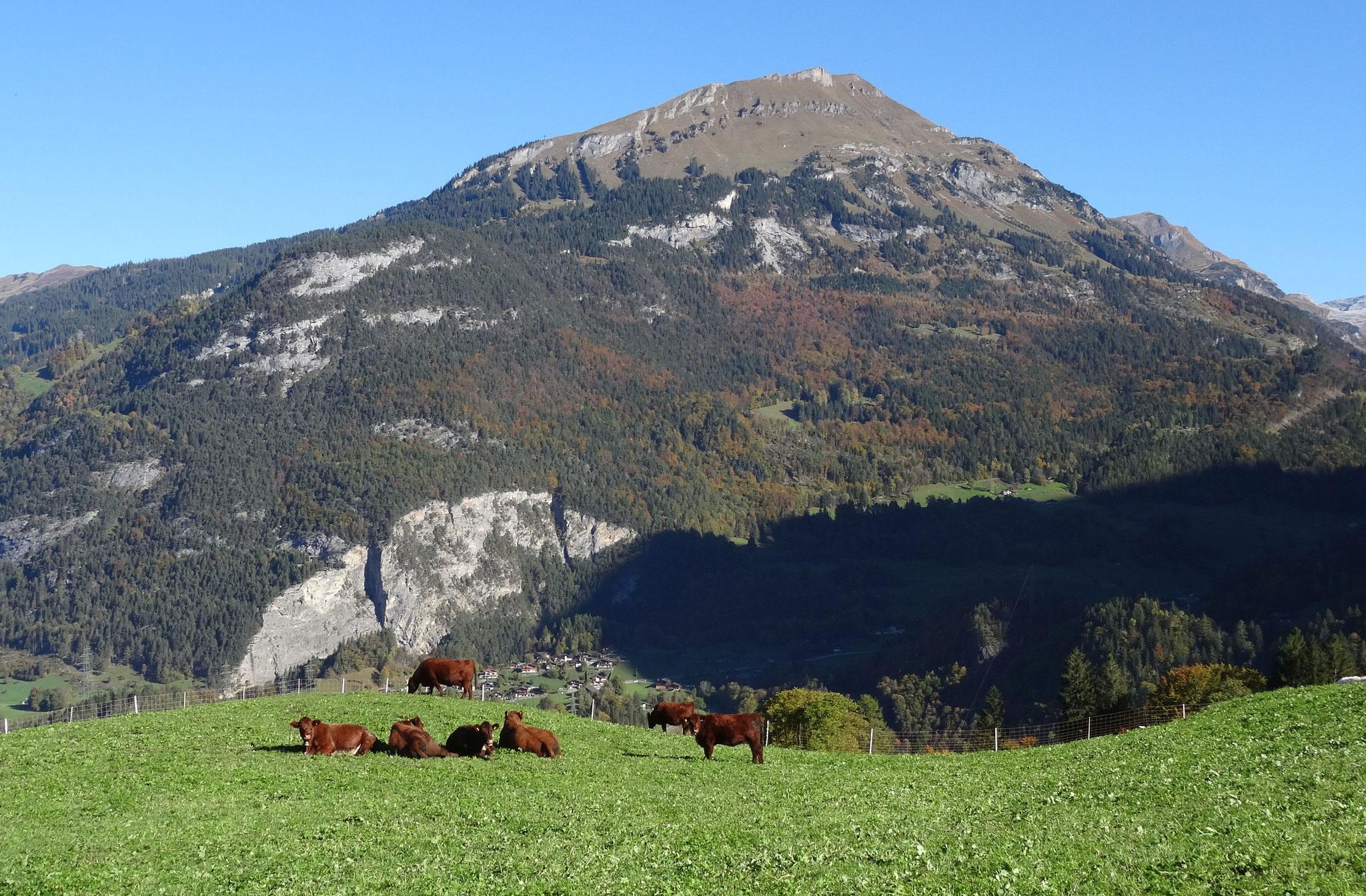 Die Luing-Herde von Stephan Wyss.