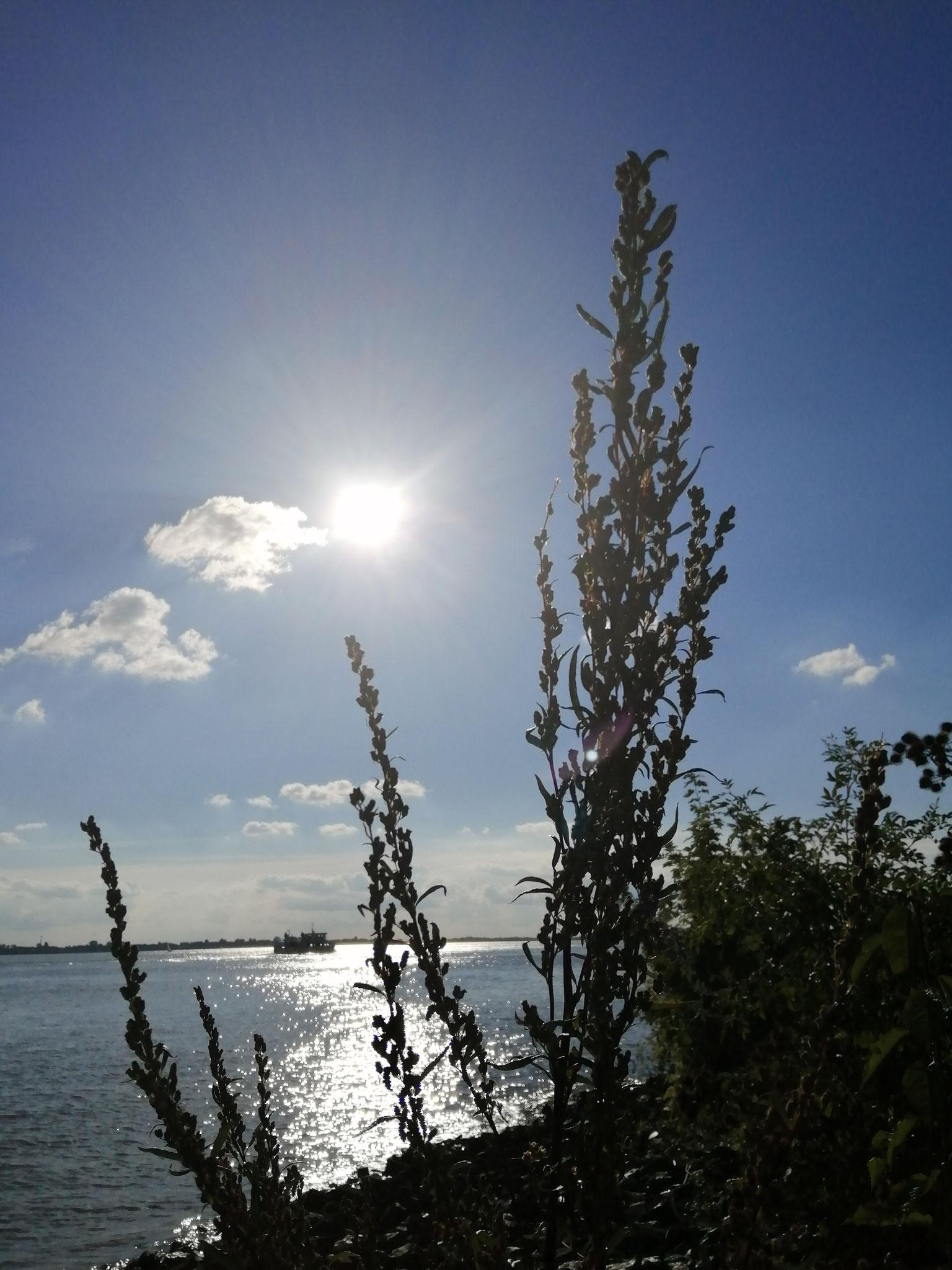 Beifuß an der Elbe