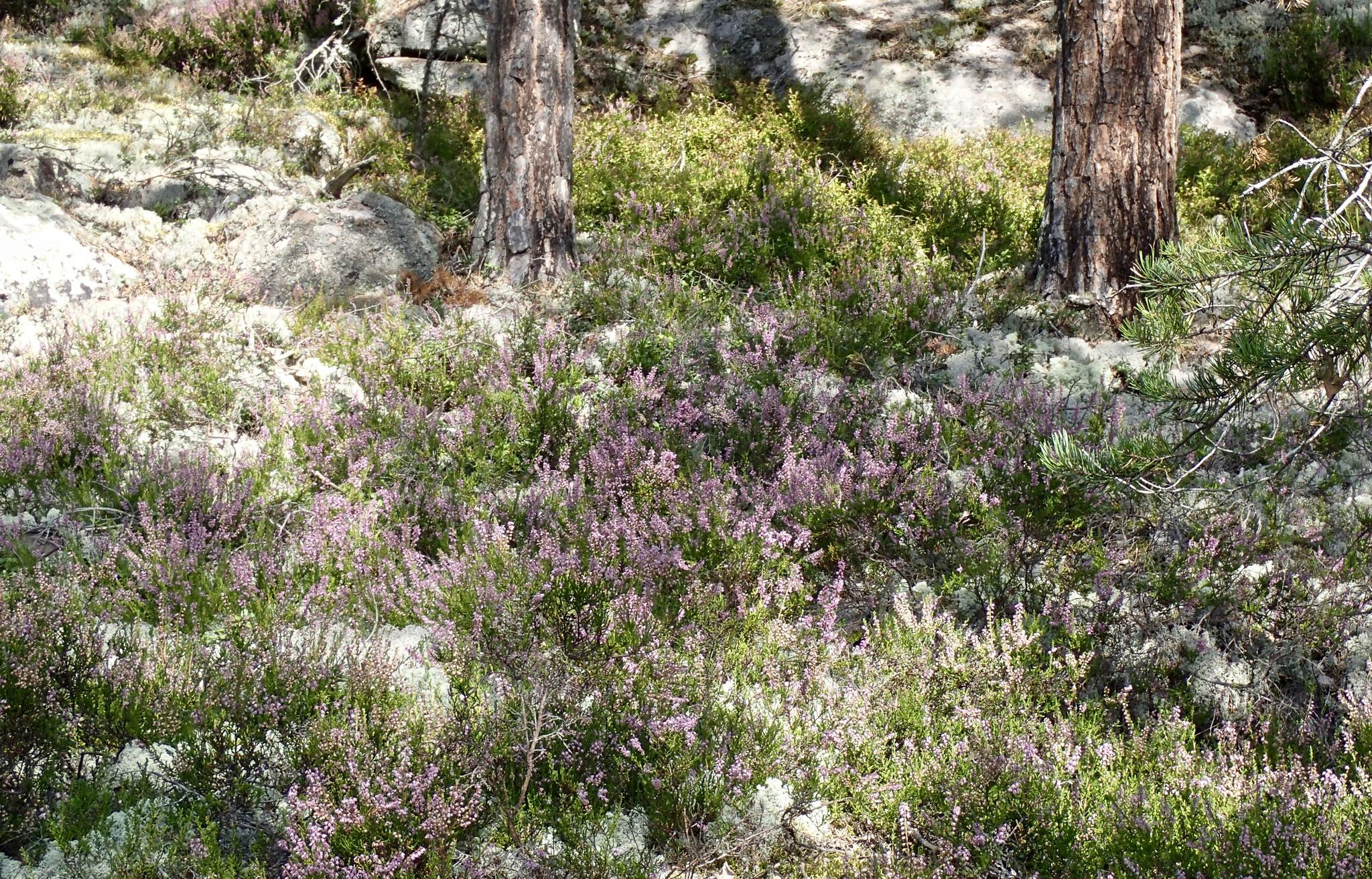 Heideblüte mit Moos und Beeren