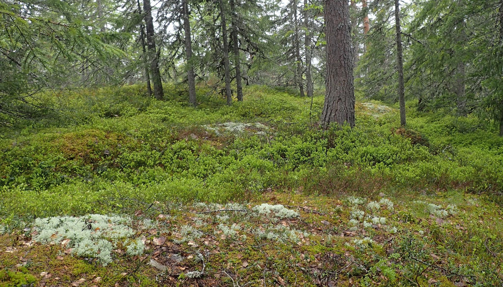 ein Wald voller Blaubeeren