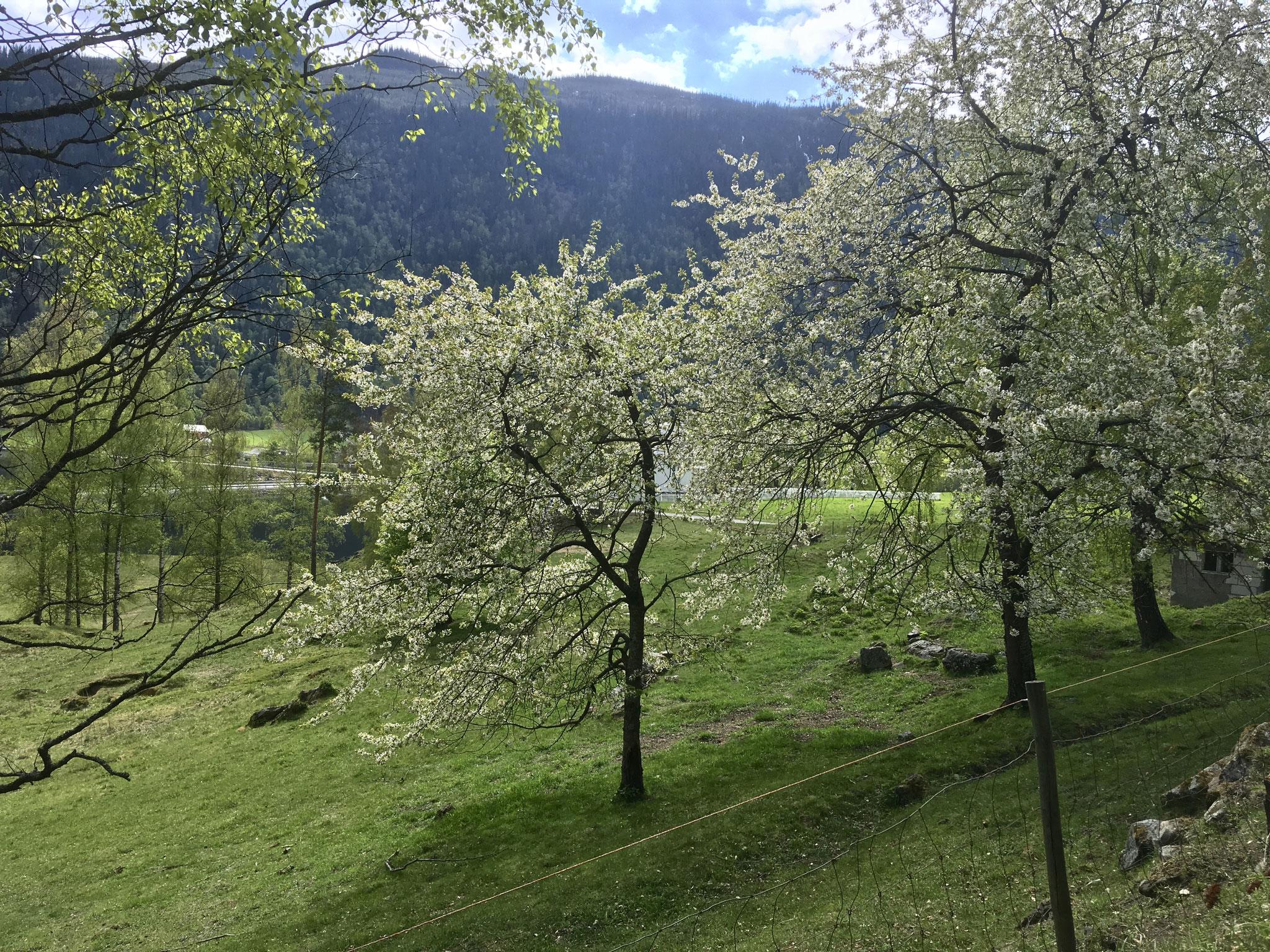 Mæl Kirche bak blomstrende trær