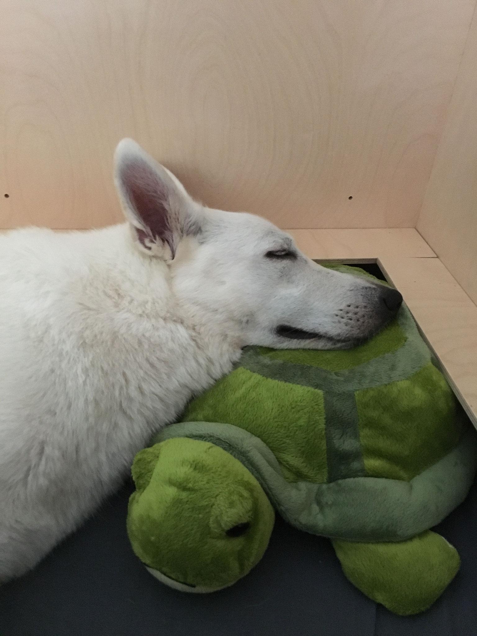 Milka ruht auf der Schildkröte