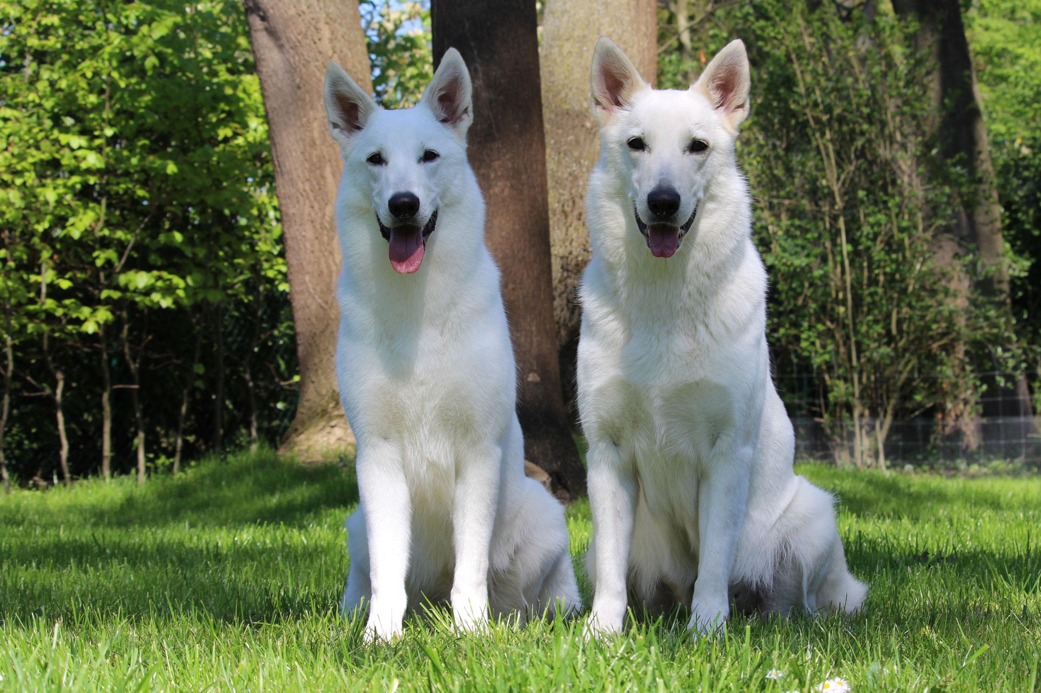 zwei schicke Stockhaar Hündinnen: Mutter und Tochter