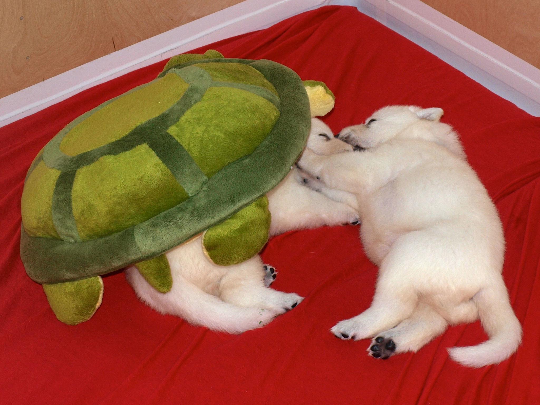 die Schildkröte ist sehr beliebt